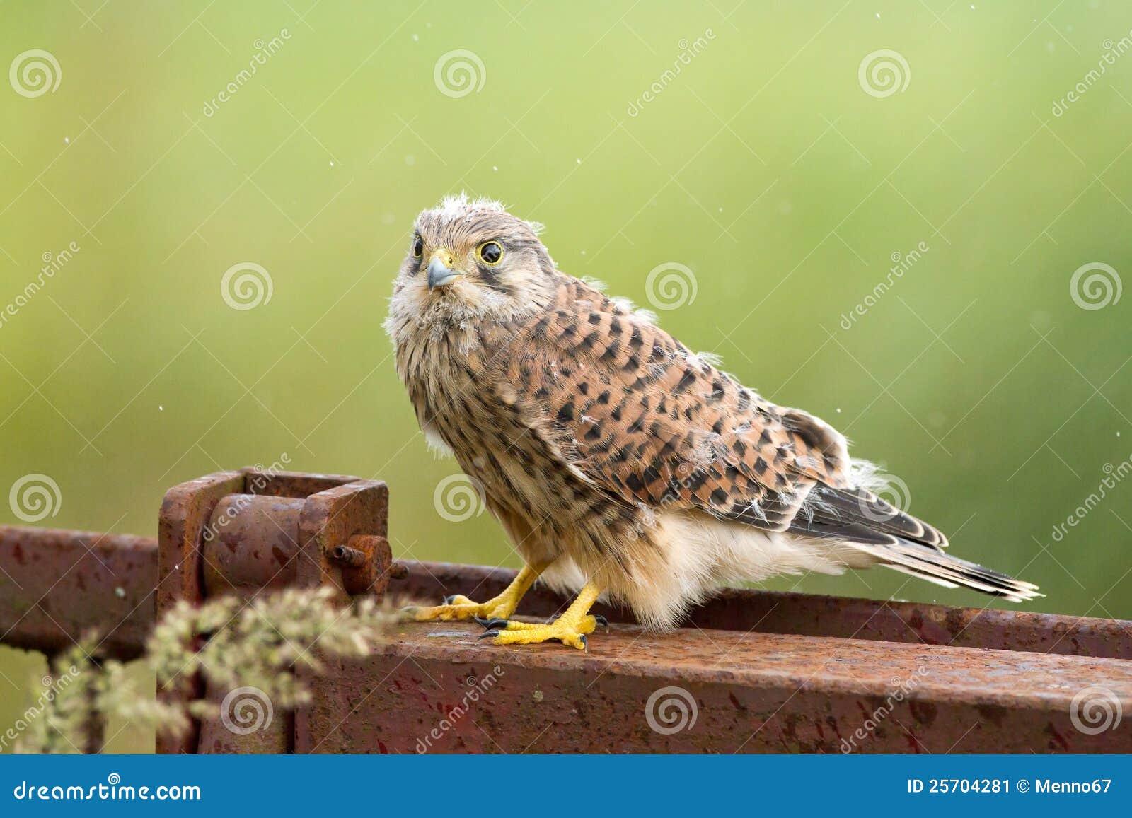 Junger Kestrel mit Nestfedern