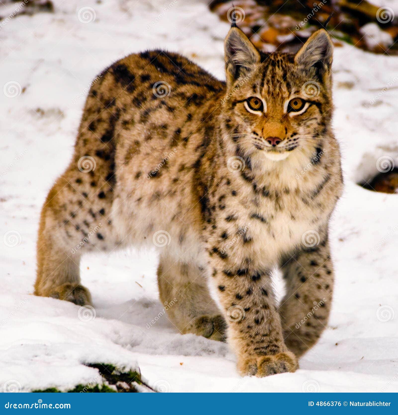 Bengal Cat Canada
