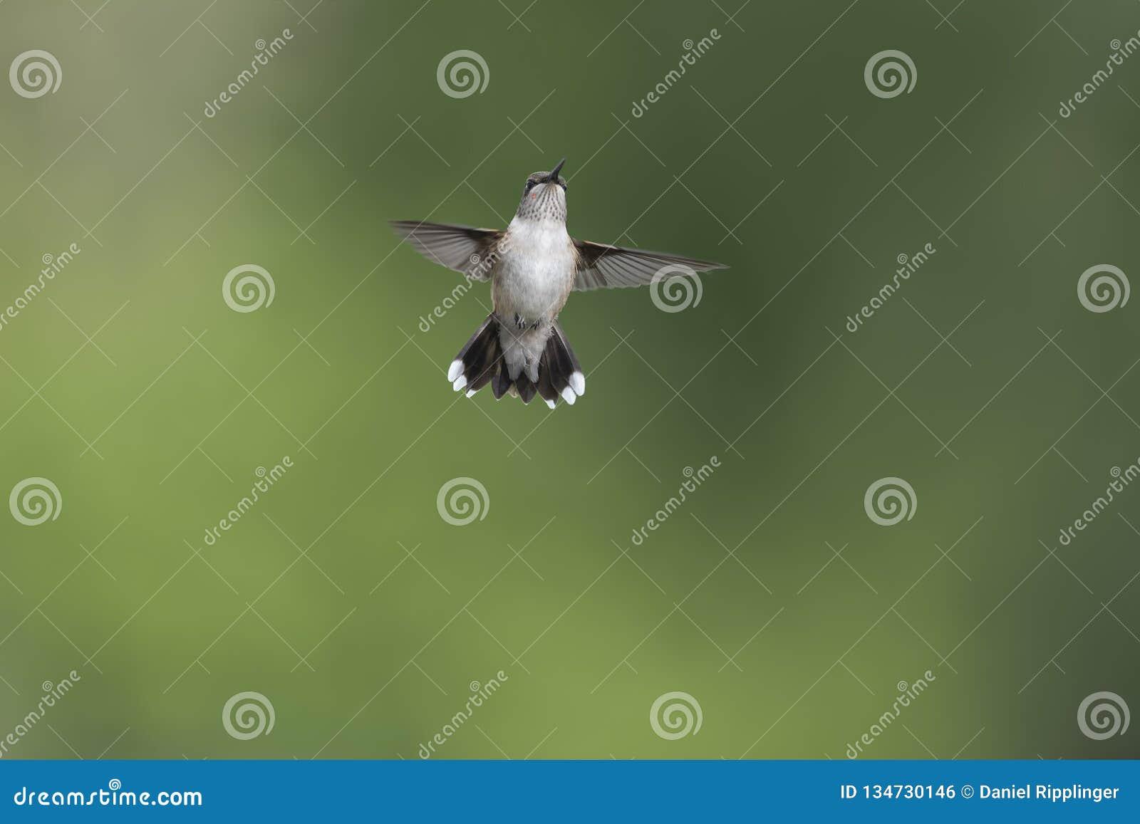 Junger männlicher Kolibri, der die ersten Zeichen des Erwachsenseins zeigt