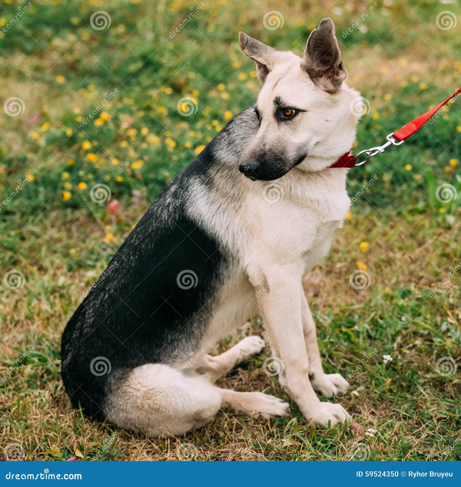 Junger osteuropäischer Schäferhund, der im Grün sitzt