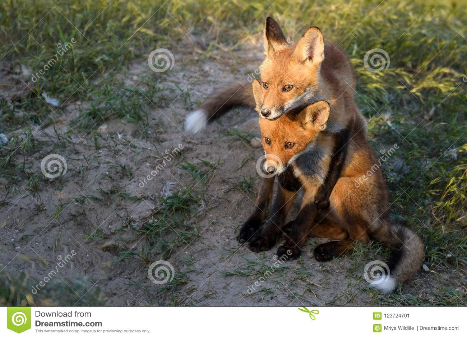 Junger roter Fox zwei, der nahe seinem Loch spielt