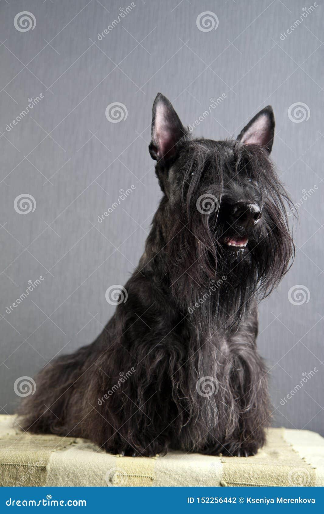 Junger schottischer Terrier auf grauem Hintergrund