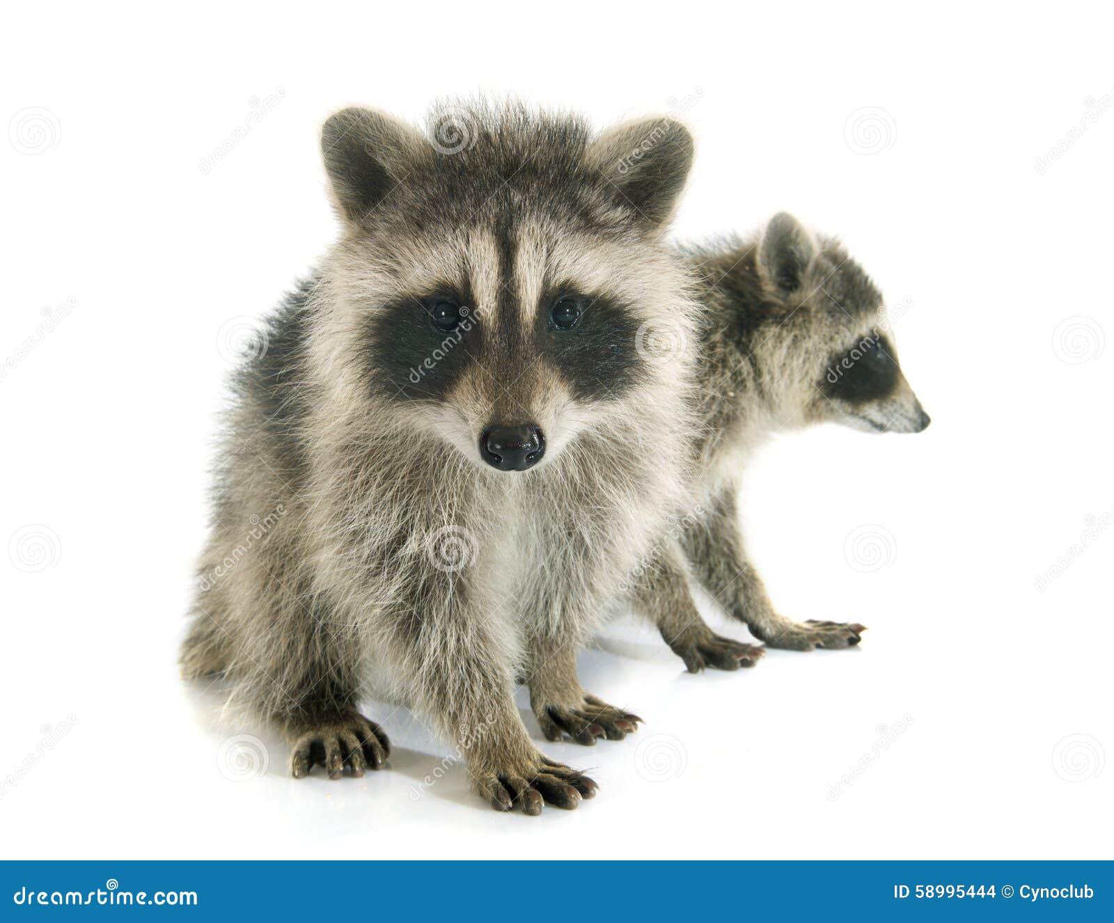 a7081abc6aa33c Junger Waschbär stockfoto. Bild von säugetier