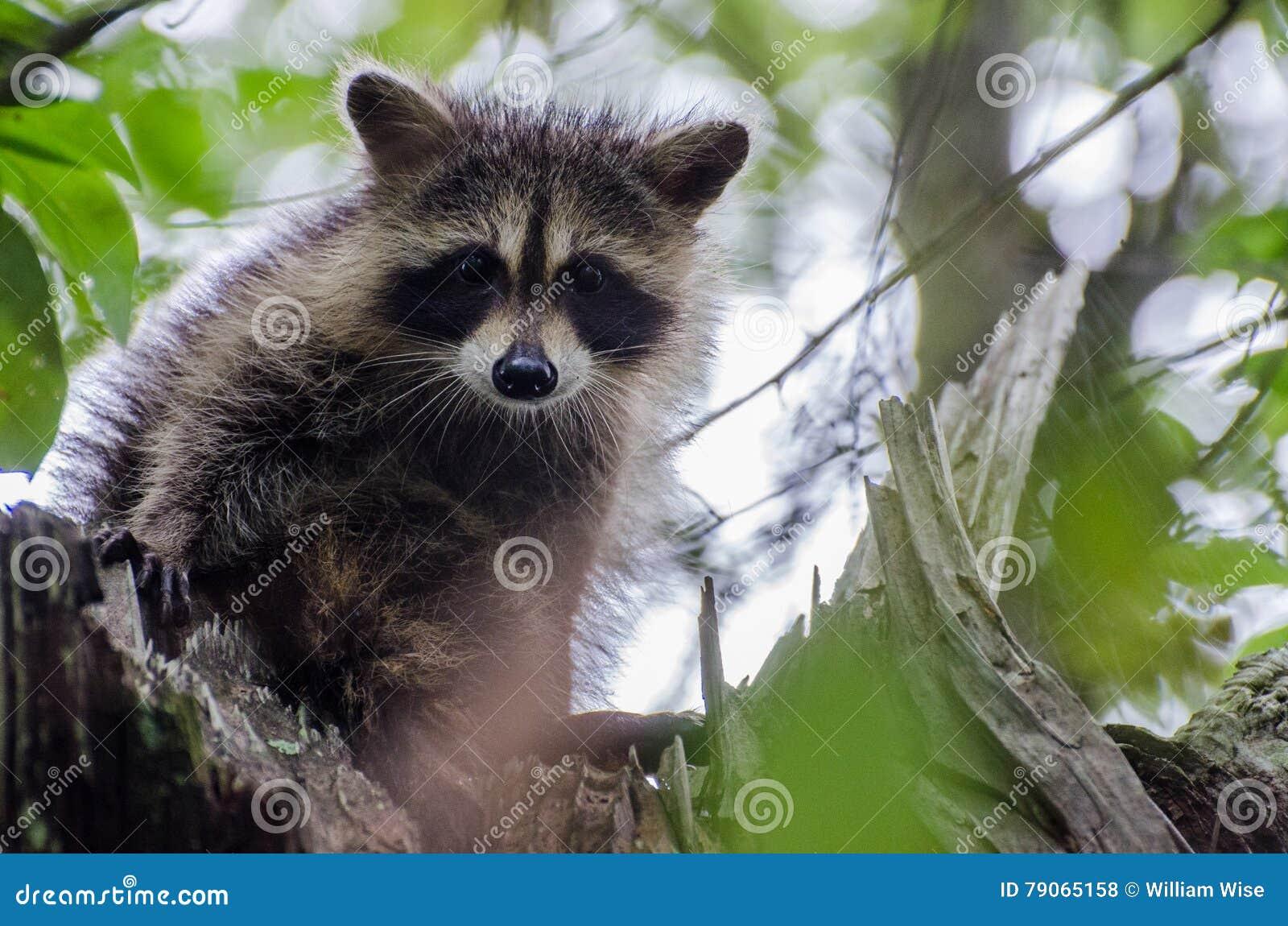 b732a514147ef6 Junger Waschbär im Baum stockfoto. Bild von abgedeckt - 79065158