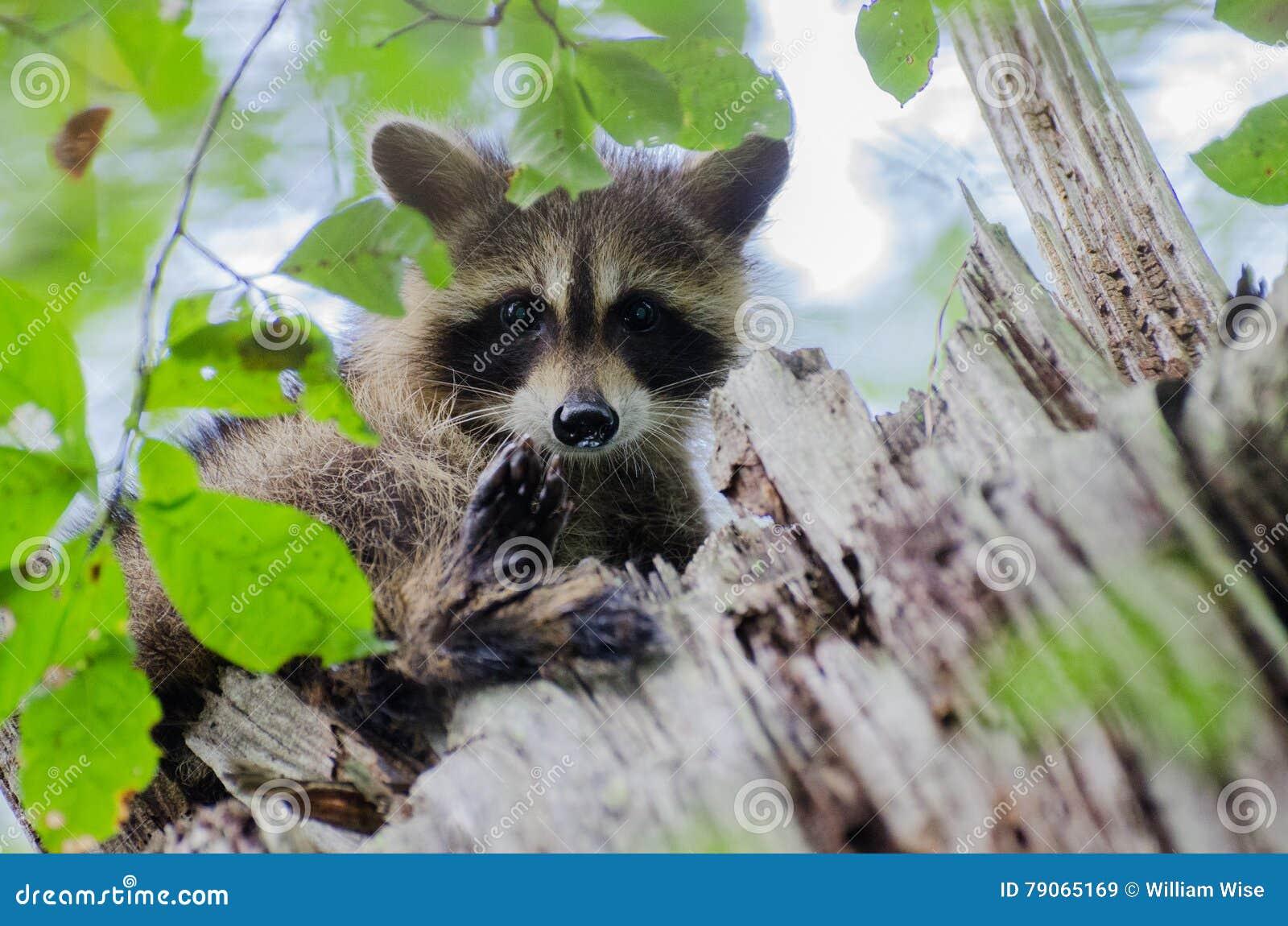 c971bf342a27ae Junger Waschbär im Baum stockbild. Bild von grafschaft - 79065169