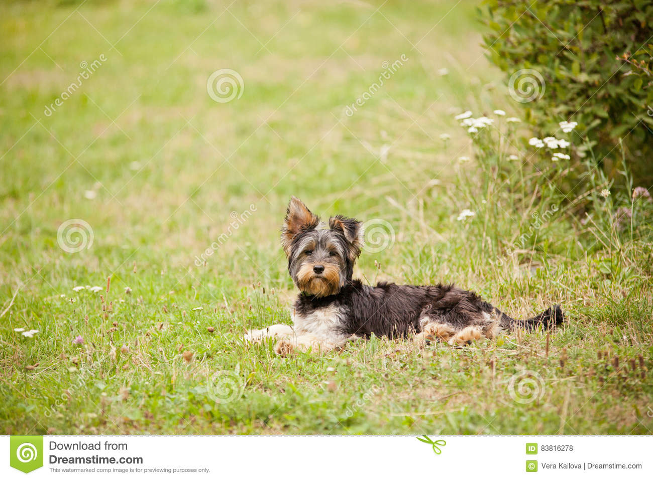 Junger Yorshire-Terrier