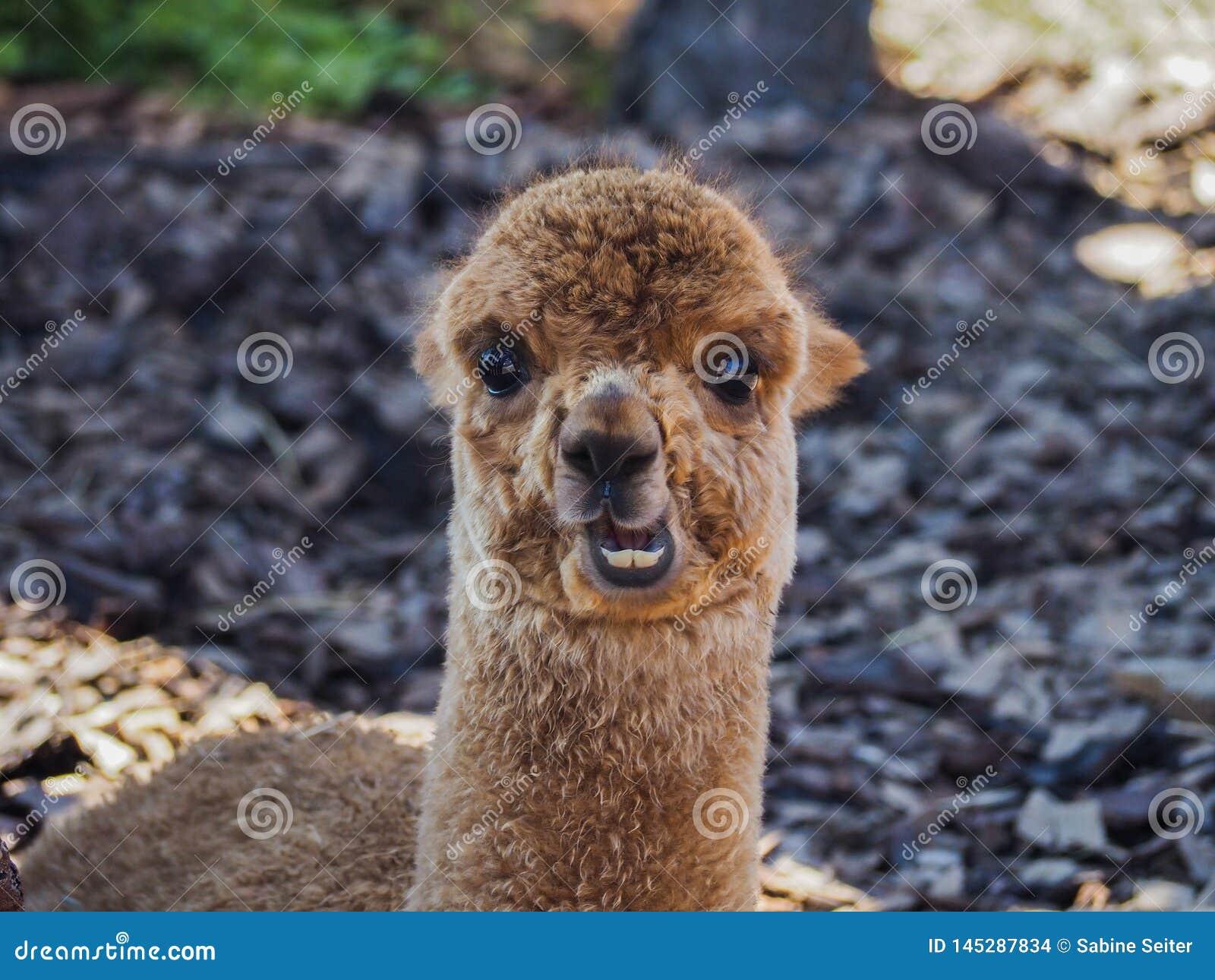 Junges Alpakaporträt