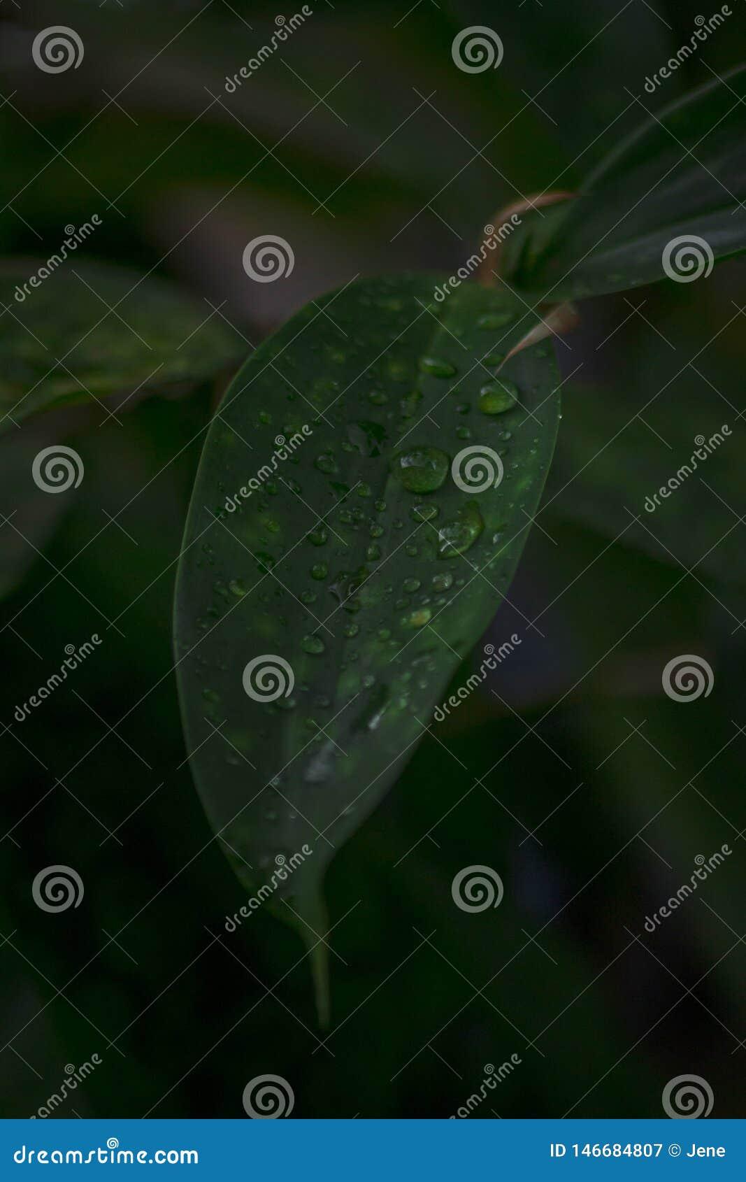 Junges Bambusblatt nach einem Regen