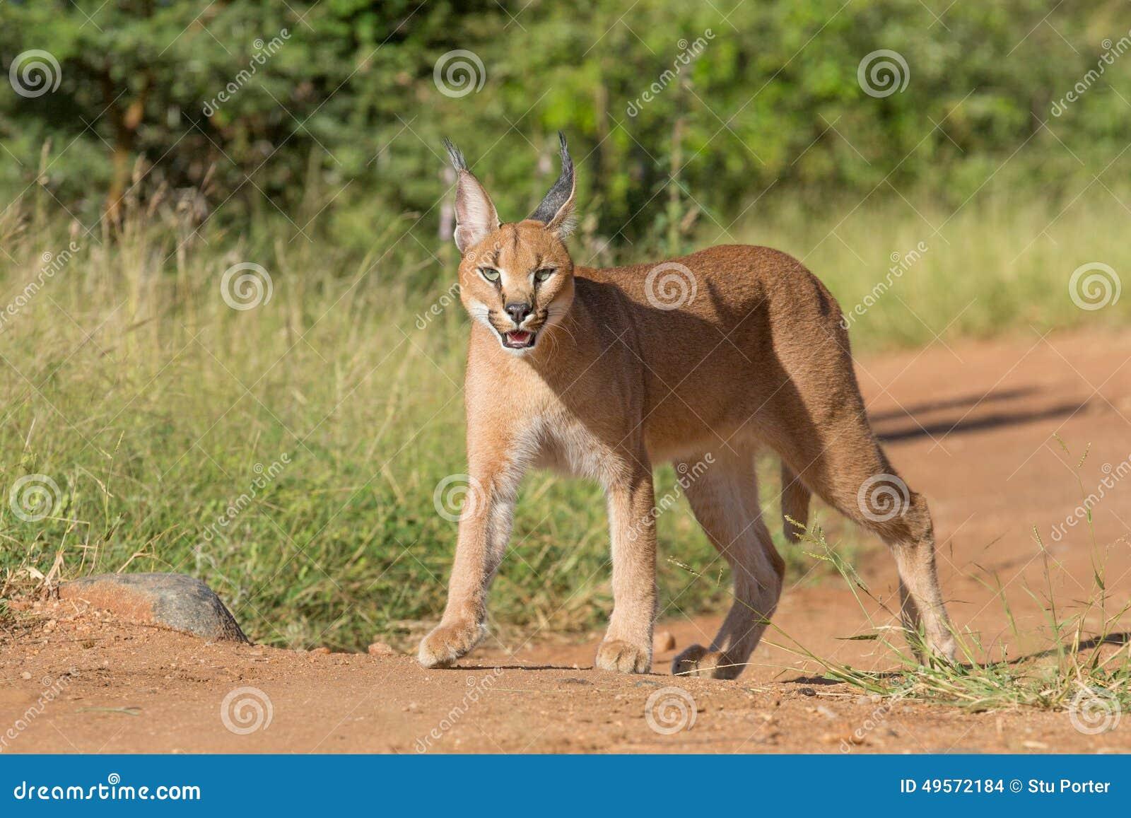 Kostenloses Cougar aus Südafrika