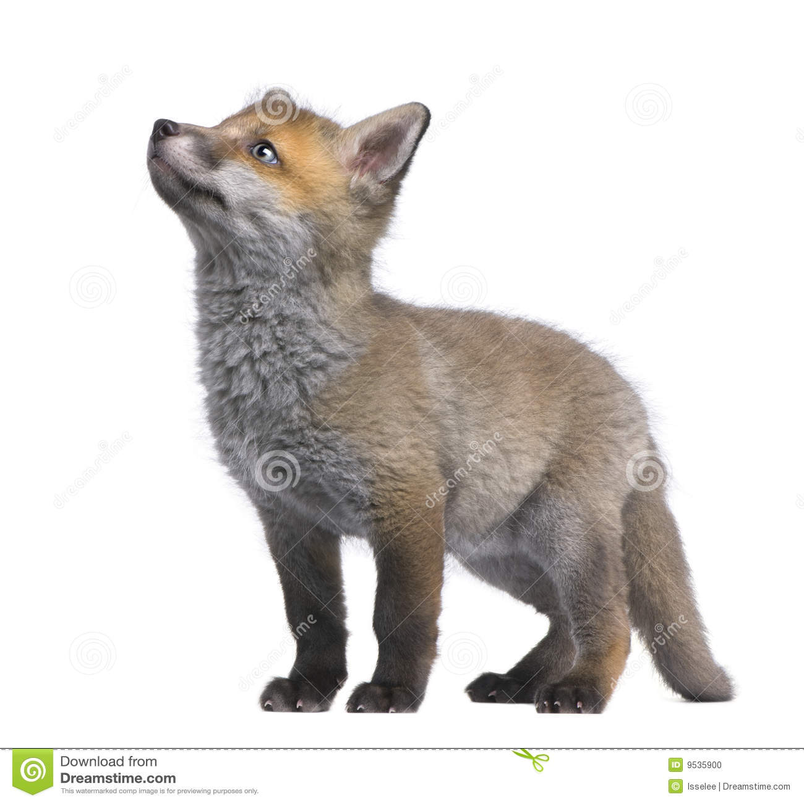 Junges des roten Fuchses, das oben schaut (6 Wochen alt) - Vulpes vulpe