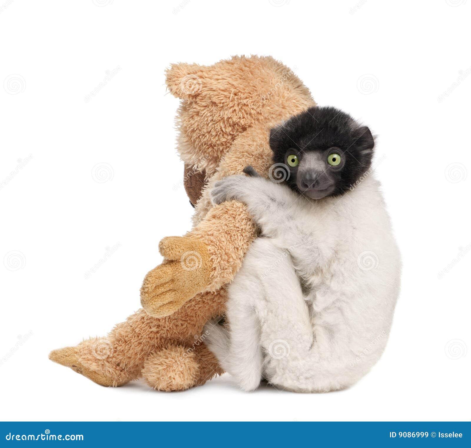 Junges gekröntes Sifaka mit seinem Teddybären - Propit