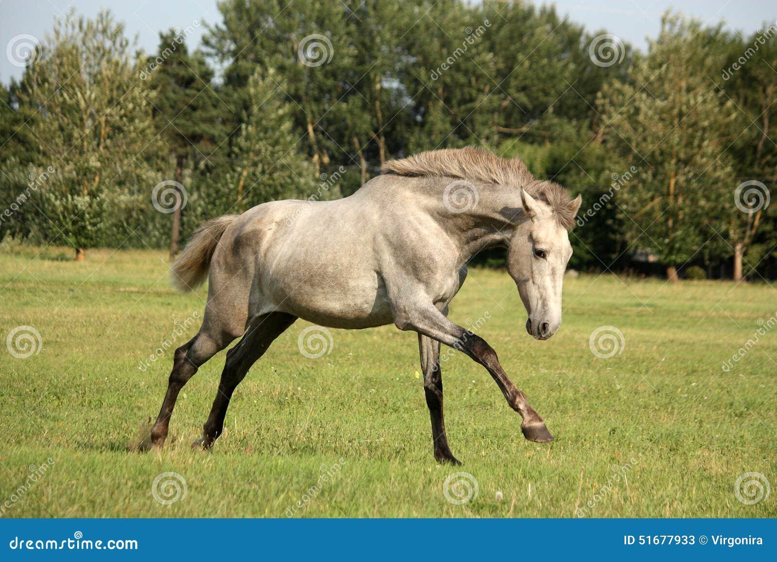 Junges Graues Andalusisches Spanisches Pferd, Das Frei