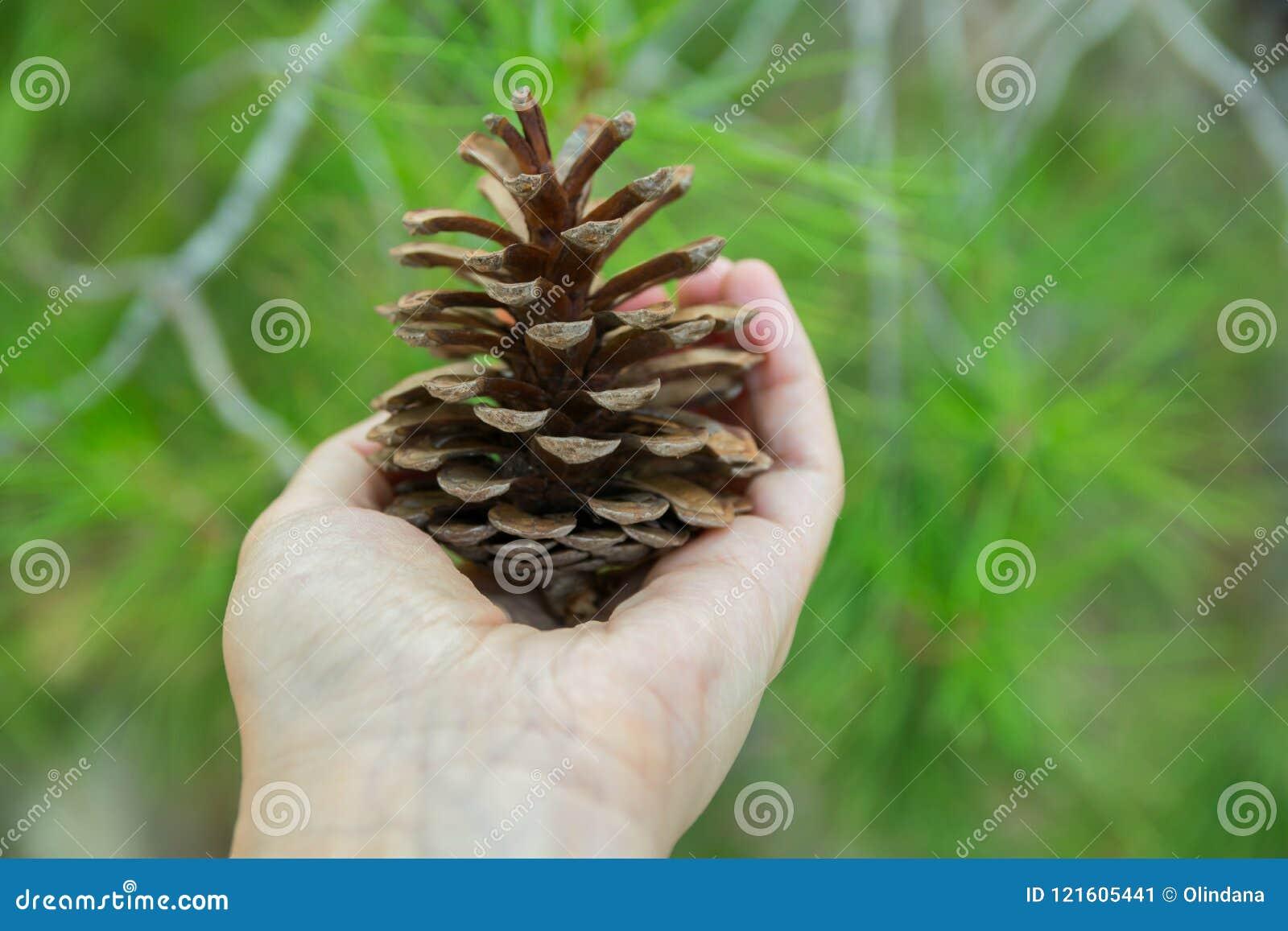 Junges kaukasisches Frauen-Mädchen hält in der Hand Kiefern-Kegel in Forest Foliage Background Betrachtungs-Ruhe-aufmerksames Ver