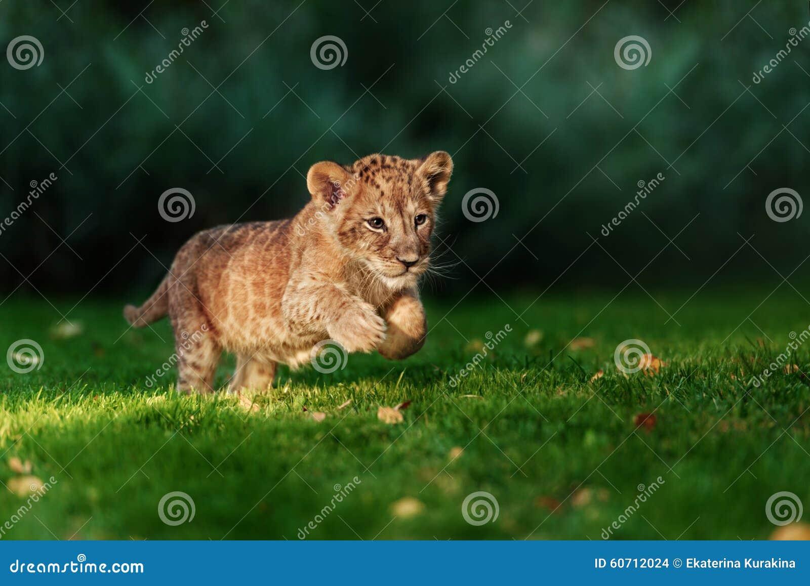 Junges Löwejunges im wilden