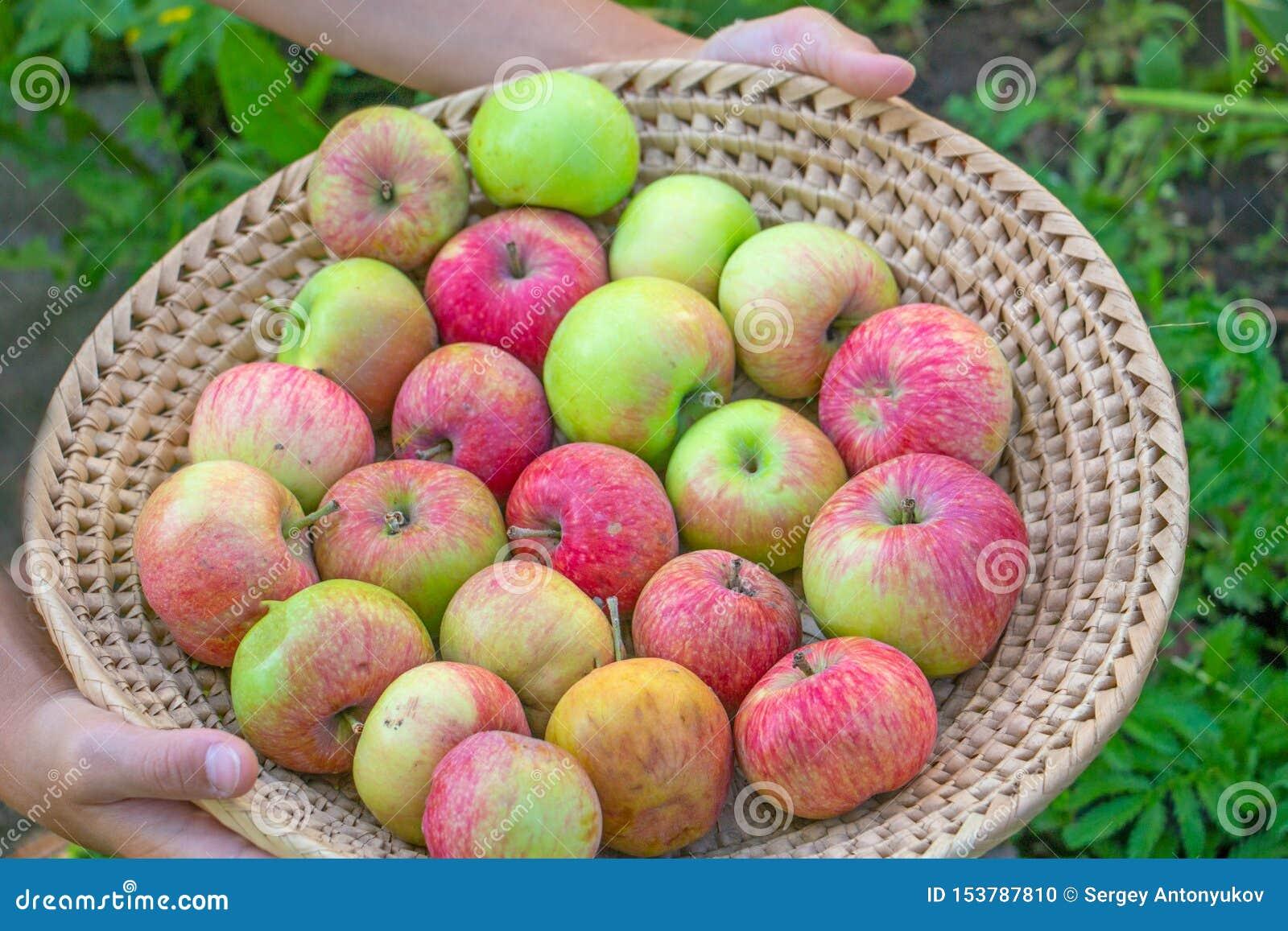 Junges Mädchen, das voll Weidenkorb von roten und gelben reifen Herbstäpfeln hält