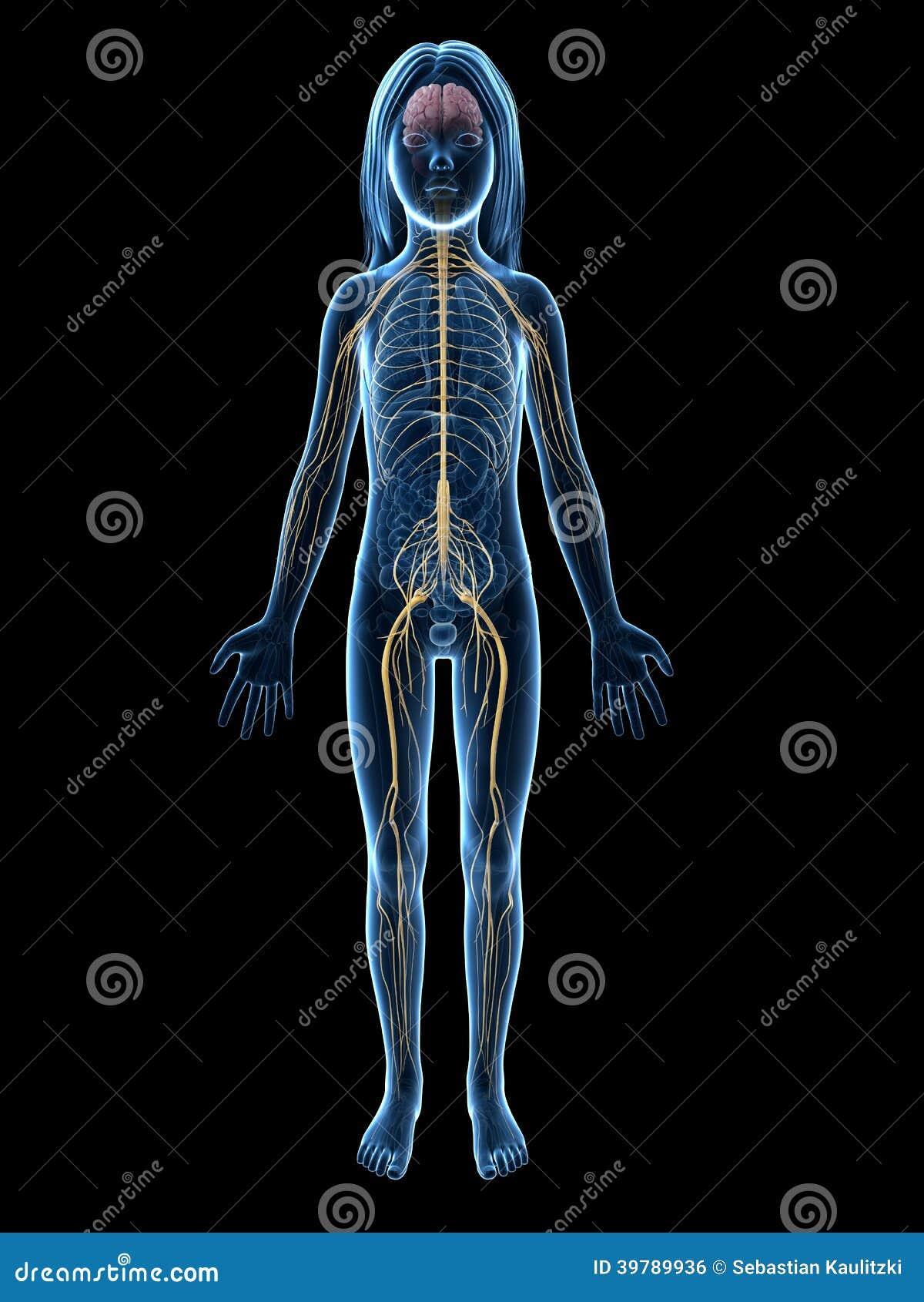 Junges Mädchen - Nervensystem Stock Abbildung - Illustration von ...