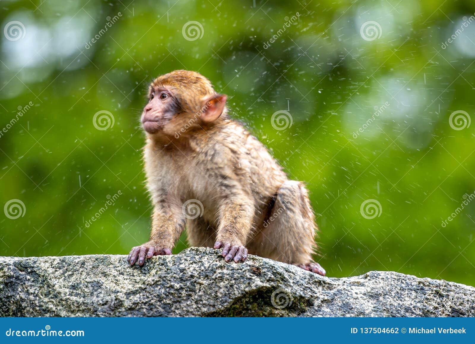 Junges Macaca sylvanus Affetanzen