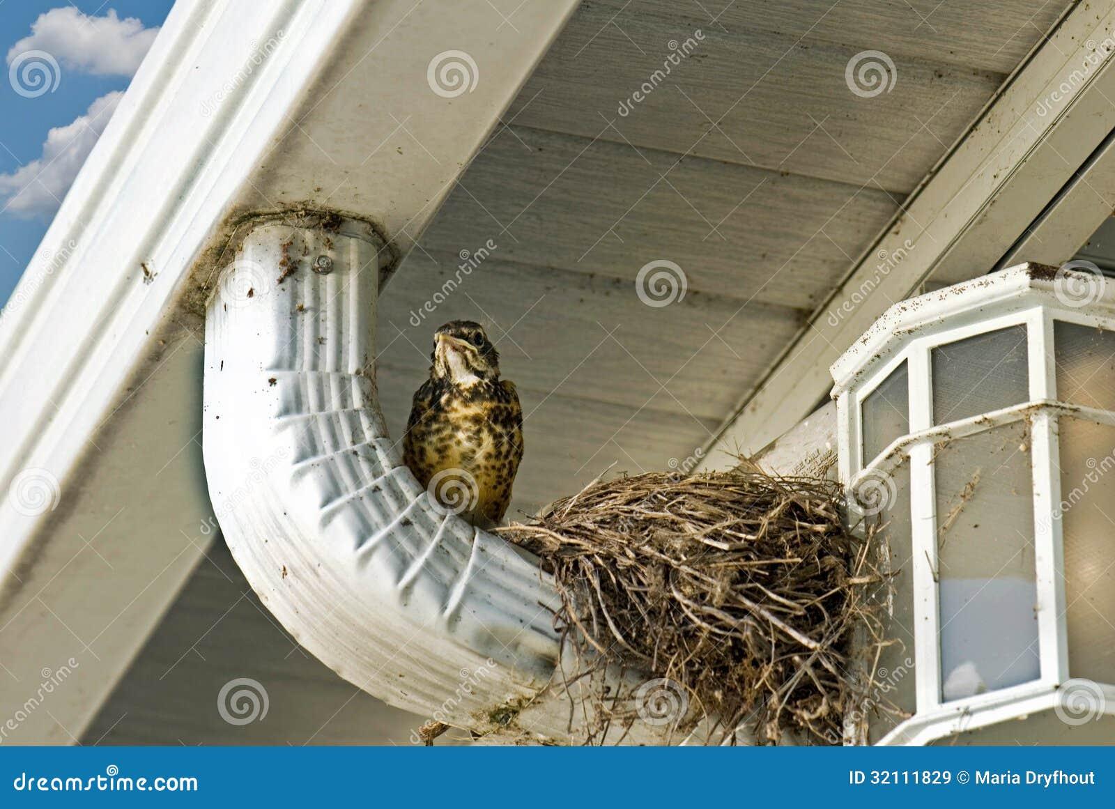 Junges Rotkehlchen Durch Nest Stockbild - Bild von schätzchen, glas ...