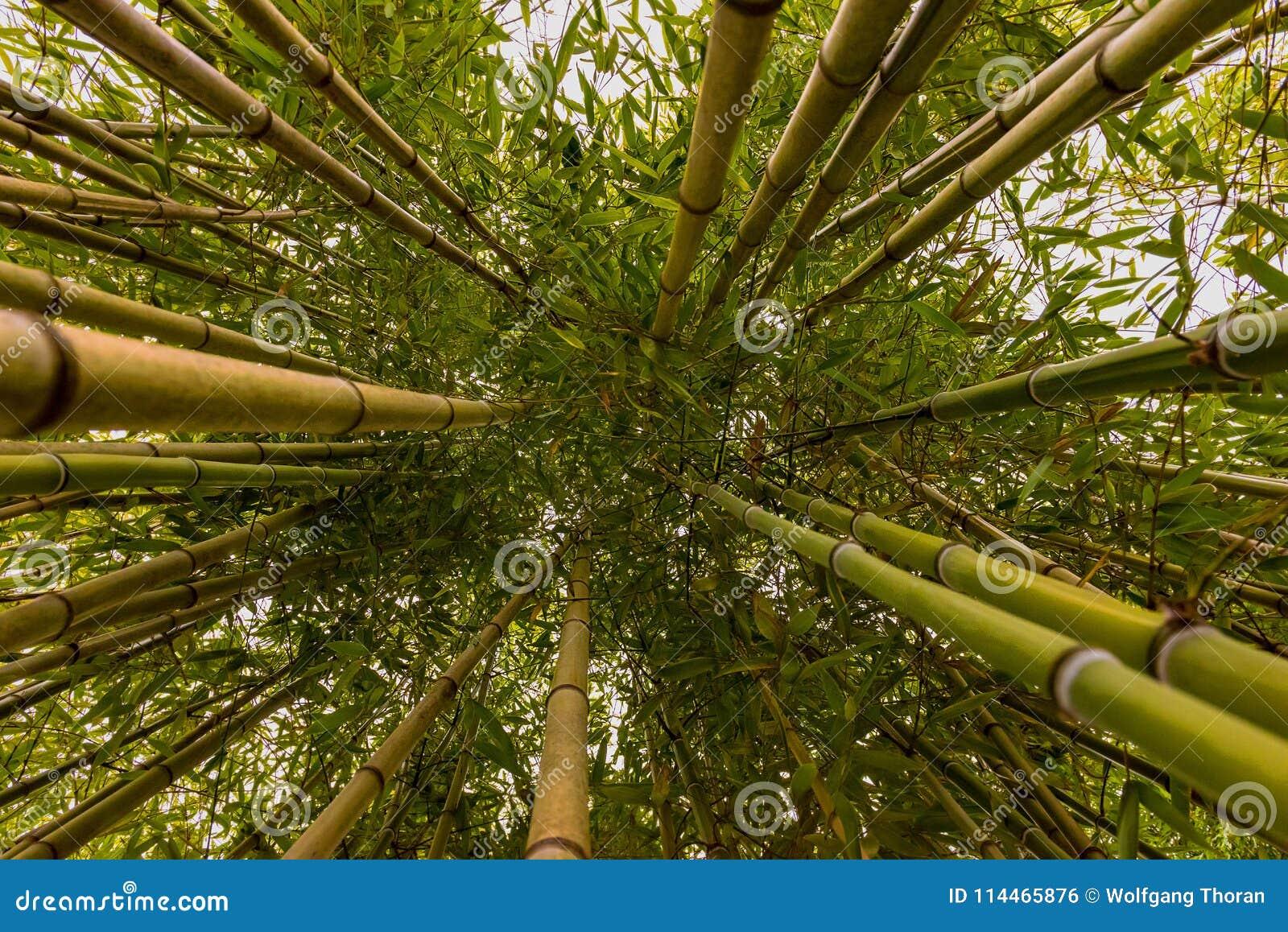 Jungle de bambous d Anduze