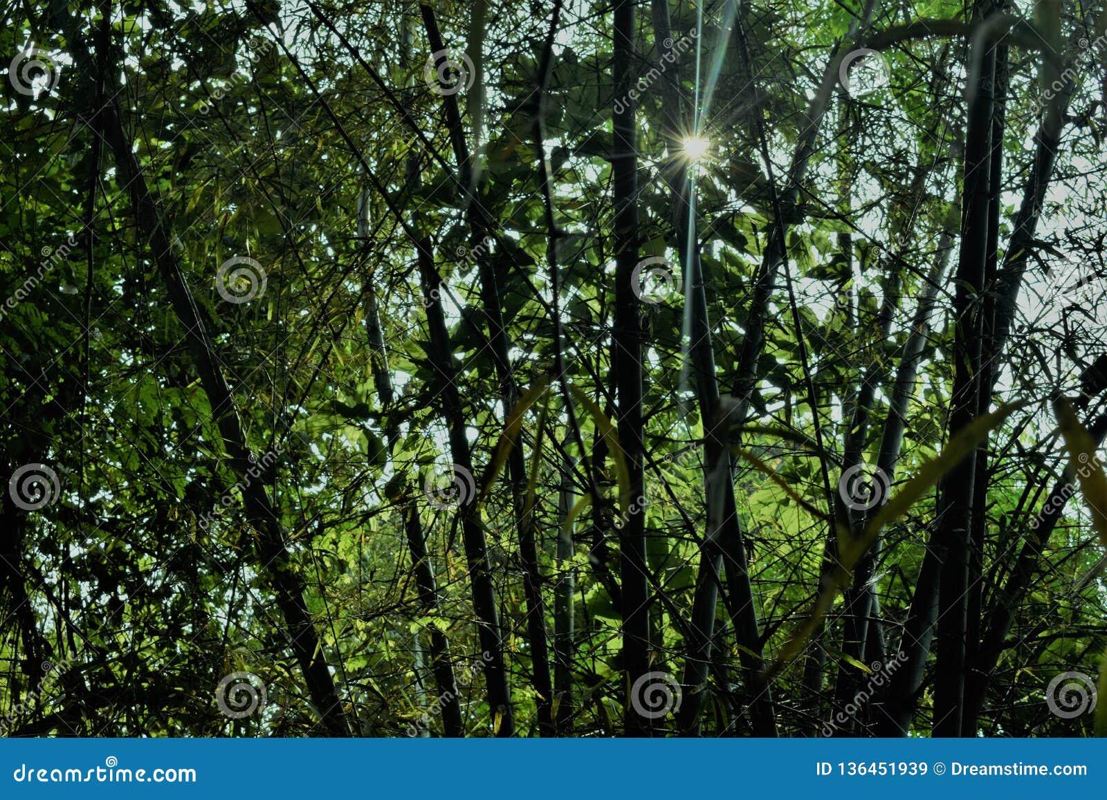 Jungle de bambous et lumière du soleil