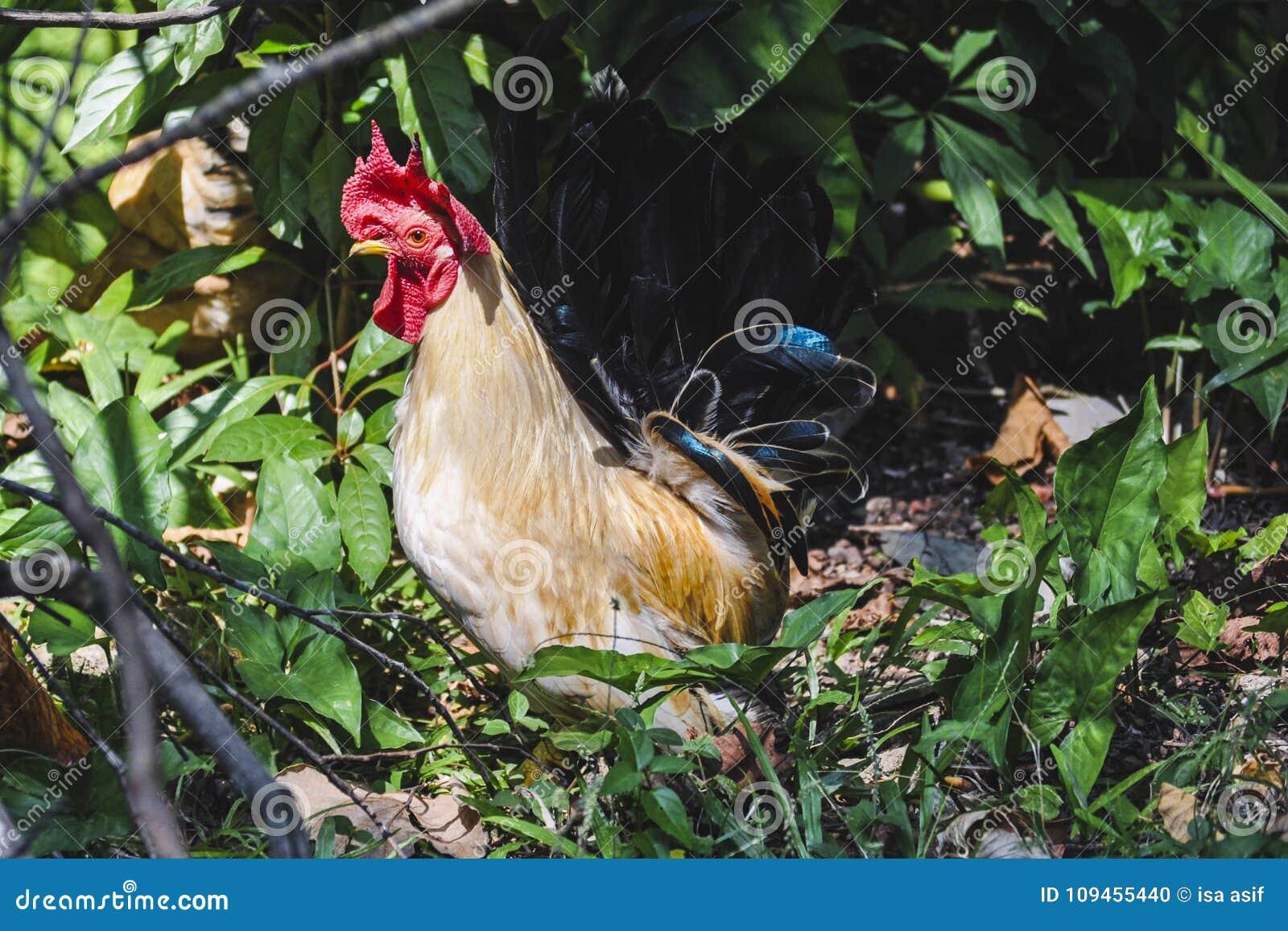 Jugle cock chicken