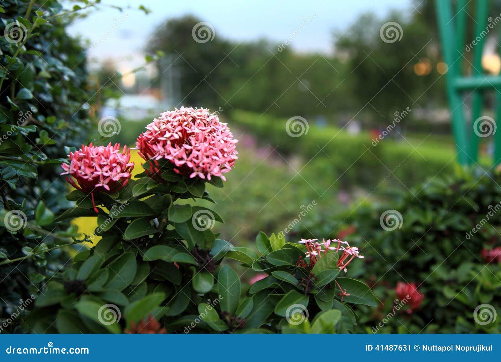 Jungle geranium (Ixora coccinea). pink color