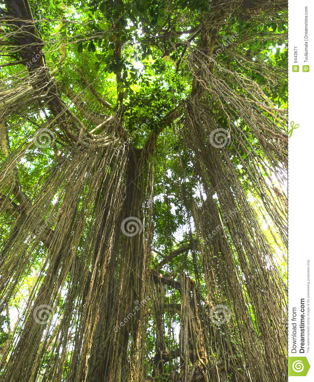 Jungle Lianas Stock Image Image 9443671