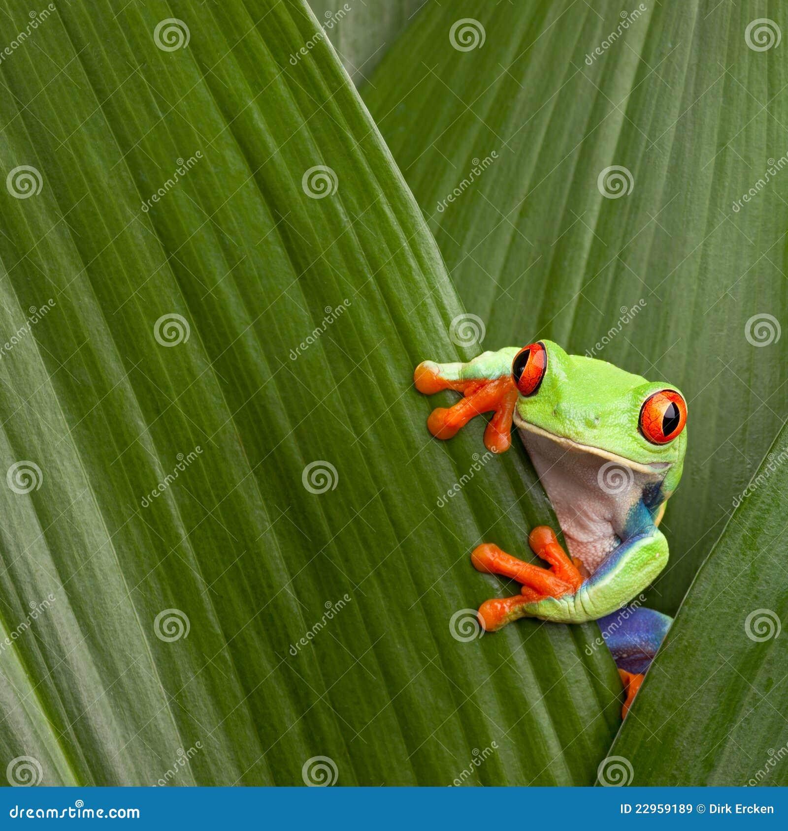 Grenouille Costa Rica grenouille d'arbre rouge d'oeil sur la feuille verte, cahuita, costa