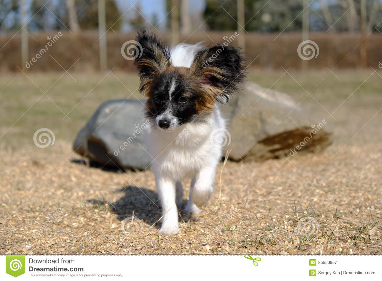 Junior-papillon Hund