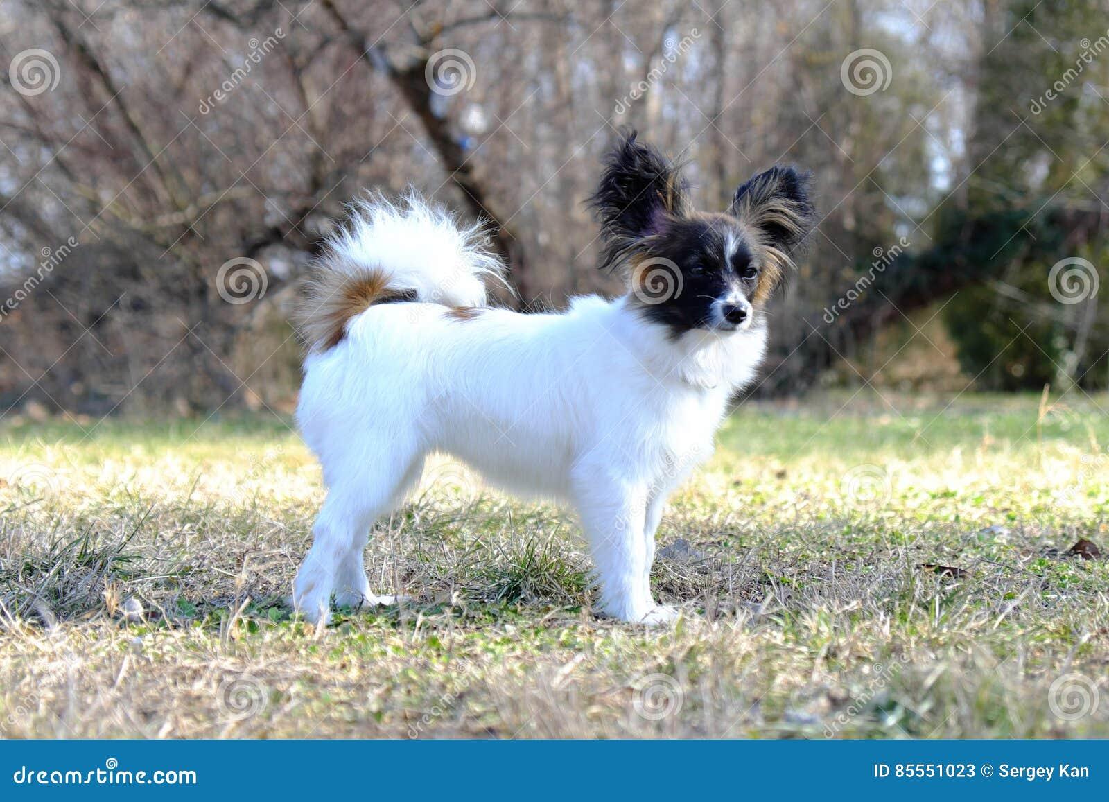 Junior-papillon Hund