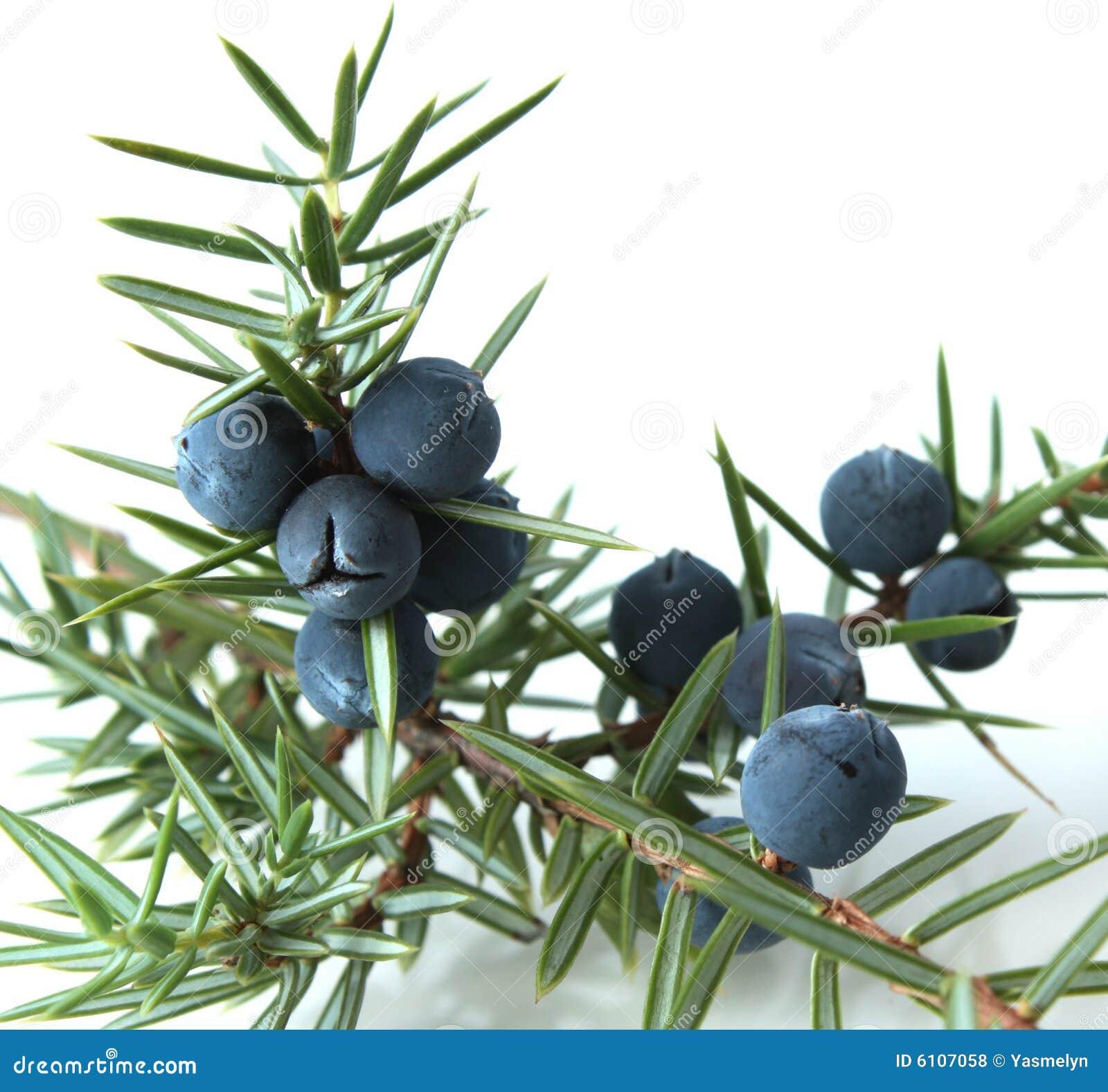 Juniper Berries (juniperus Communis). Royalty Free Stock Photos ...