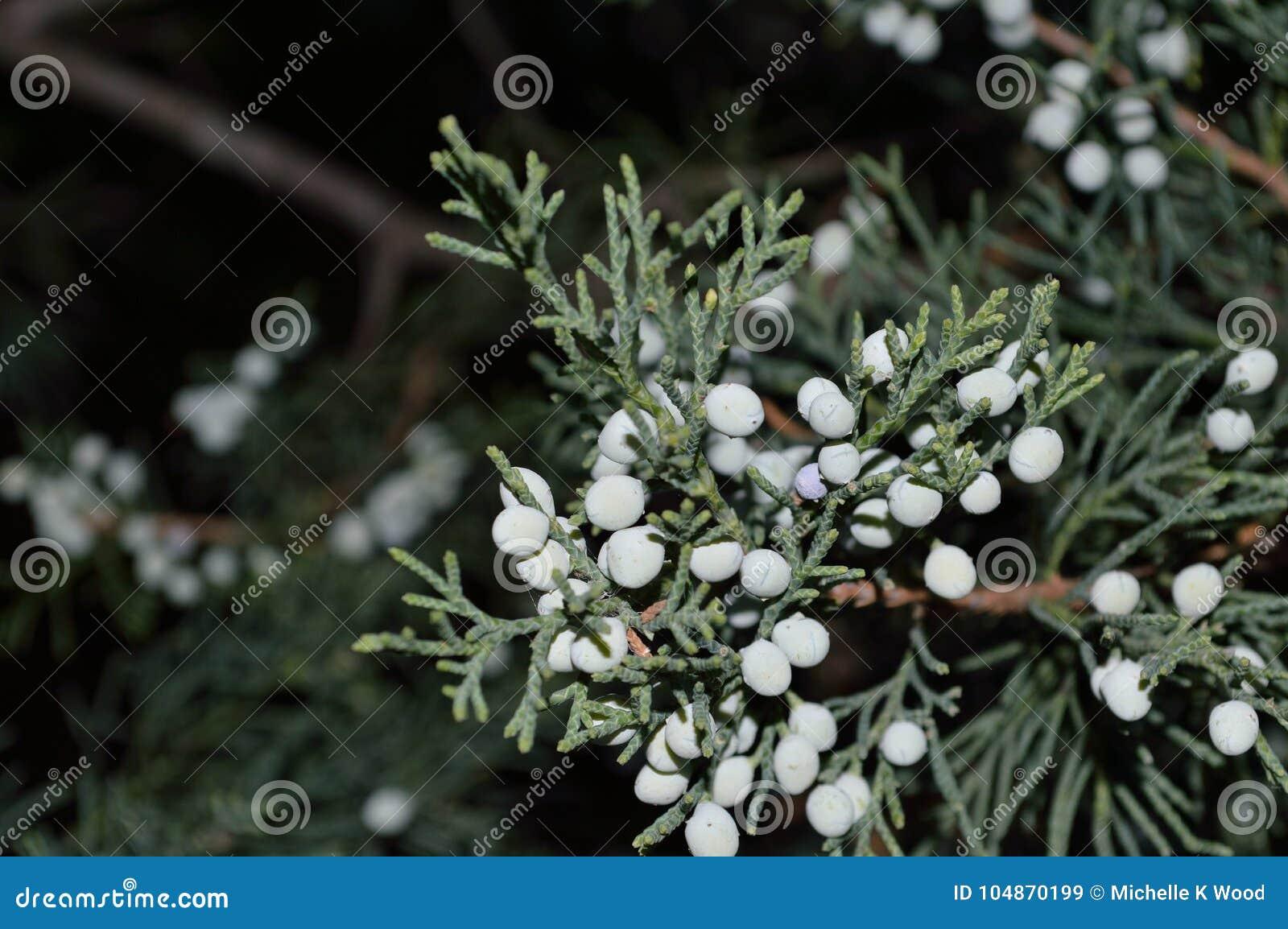 Juniper berries L Juniperus closeup