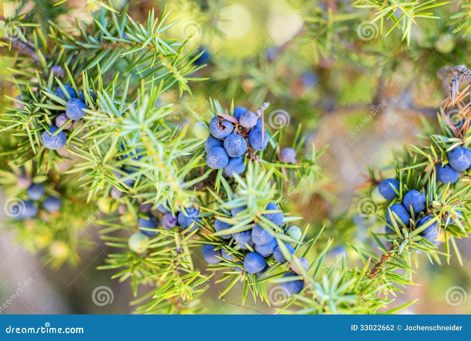 juniper berries stock photography image 33022662