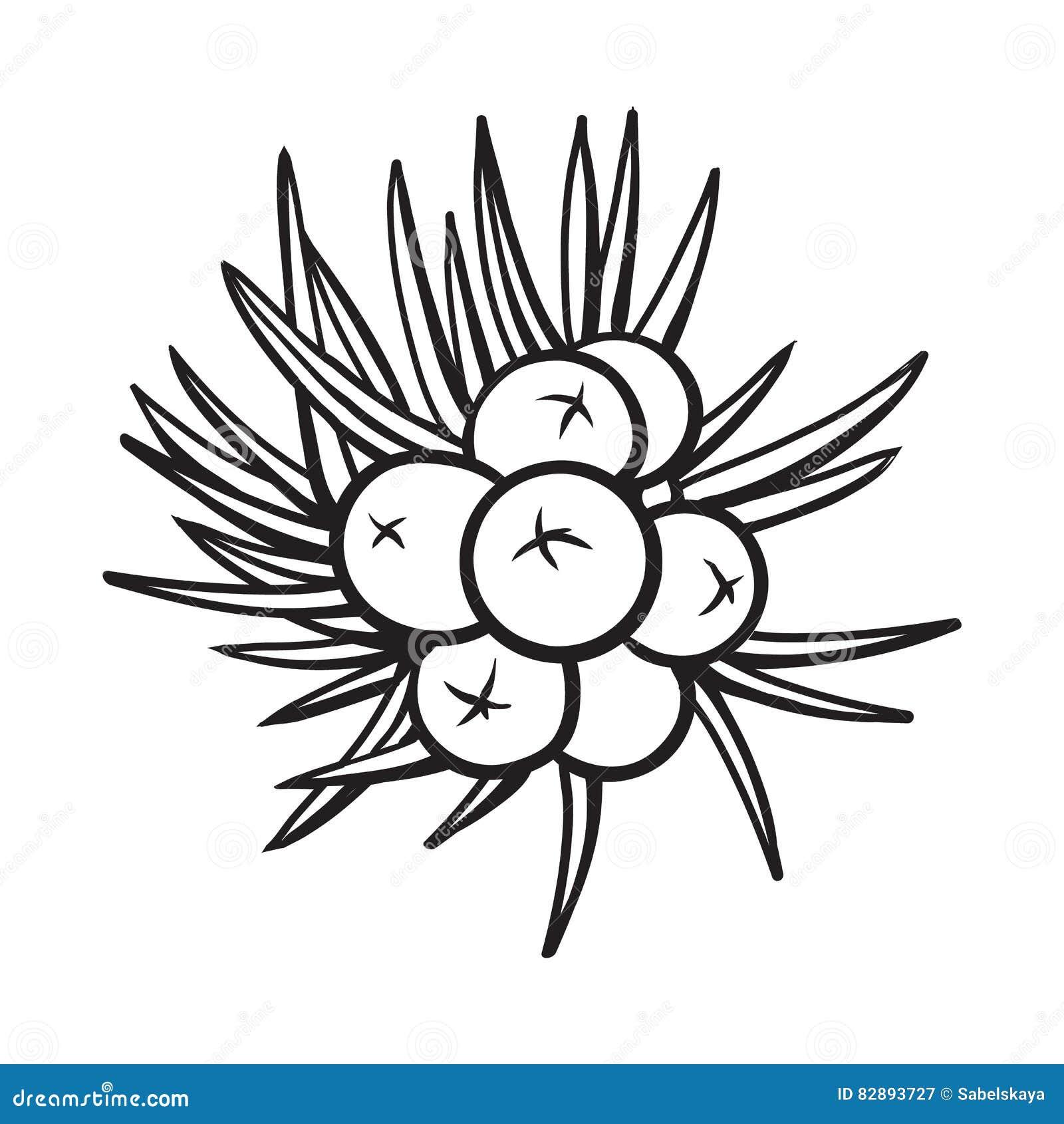 Juniper Berries Sketch Style Vector Illustration On White