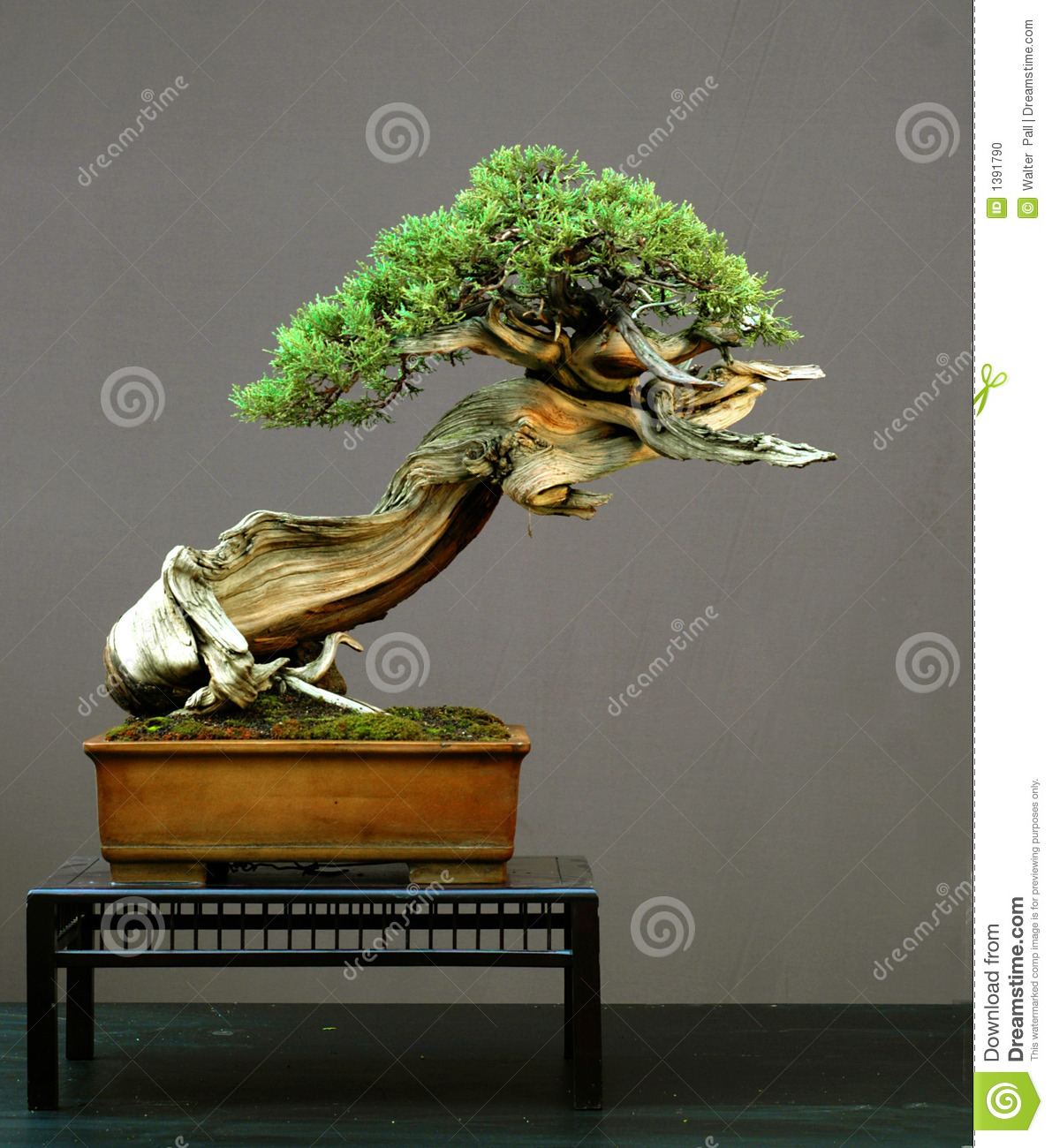 Juniper bonsai, American