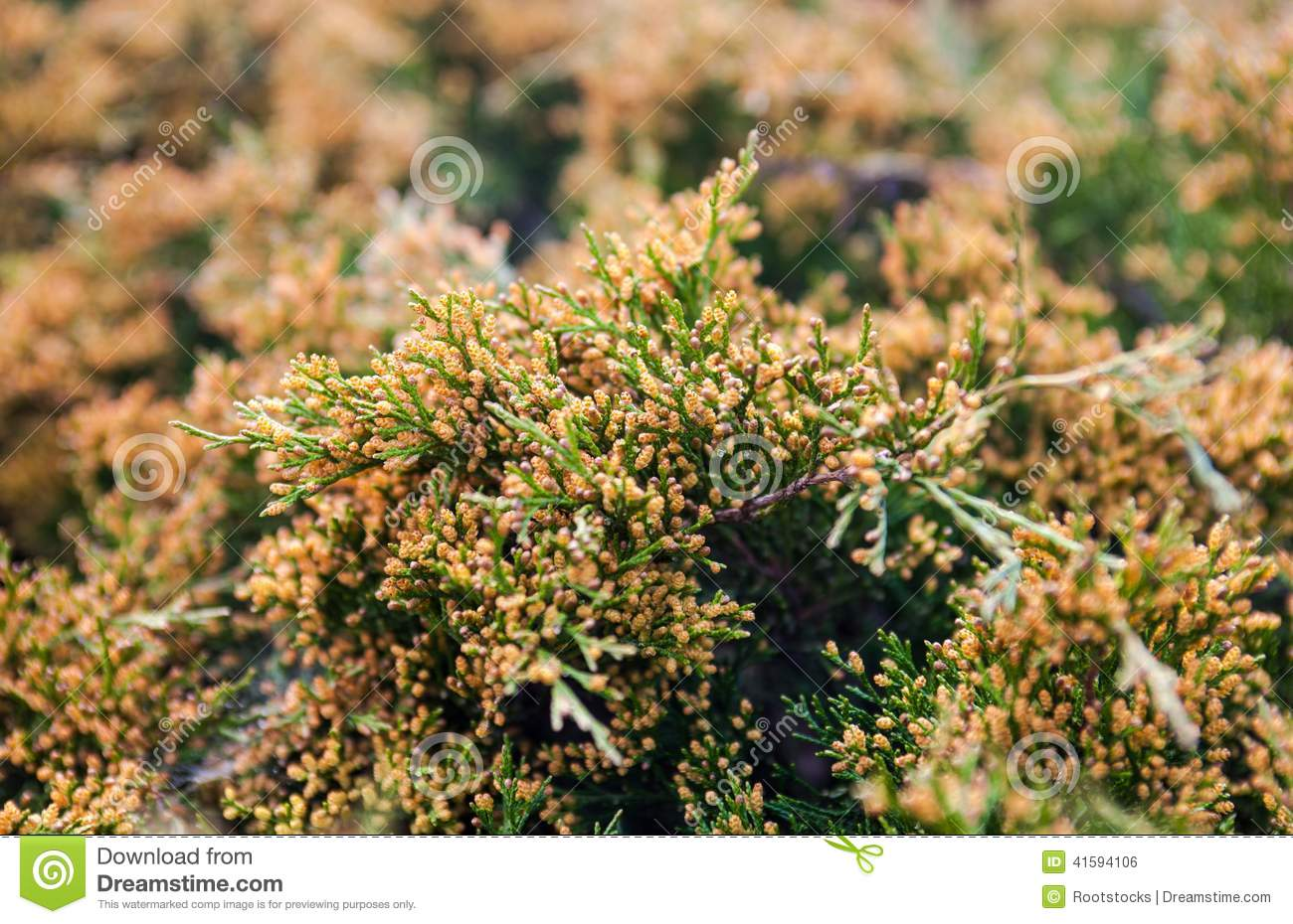 Good Golden Juniper Ground Cover Plant In Wicker Basket White Backgro With  Juniper Ground Cover
