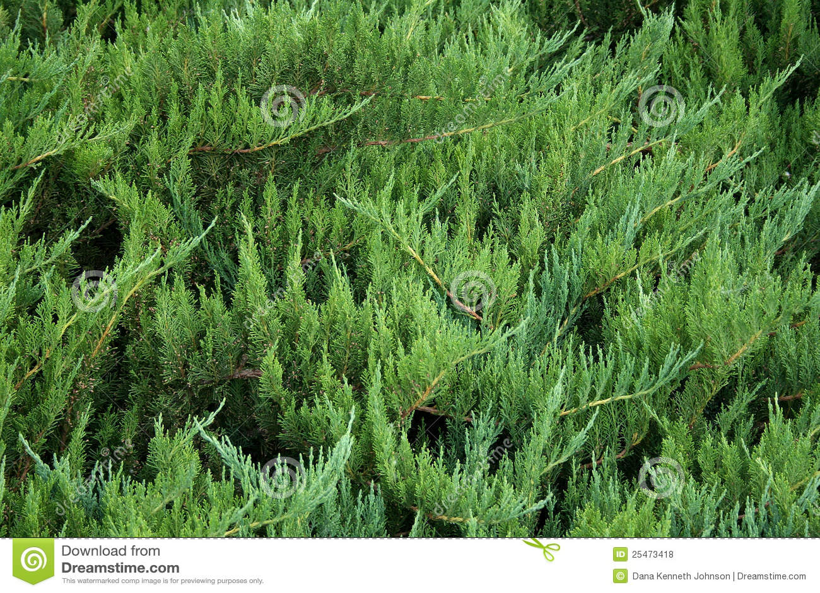 Juniper Bush Stock Photo Image Of Landscaping Bush