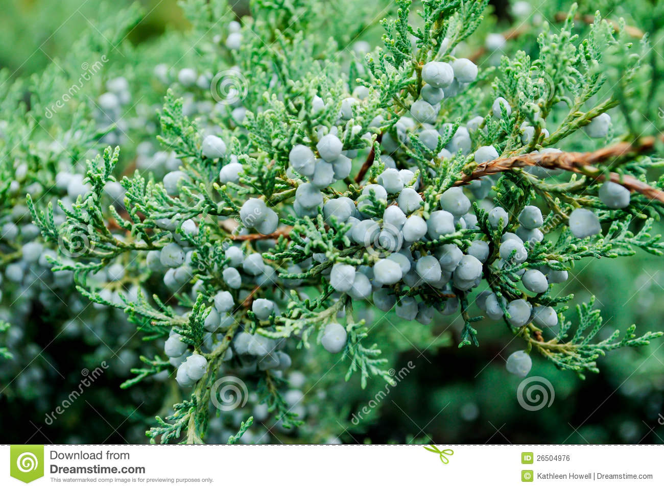 Juniper Bush Royalty Free Stock Image - Image: 26504976