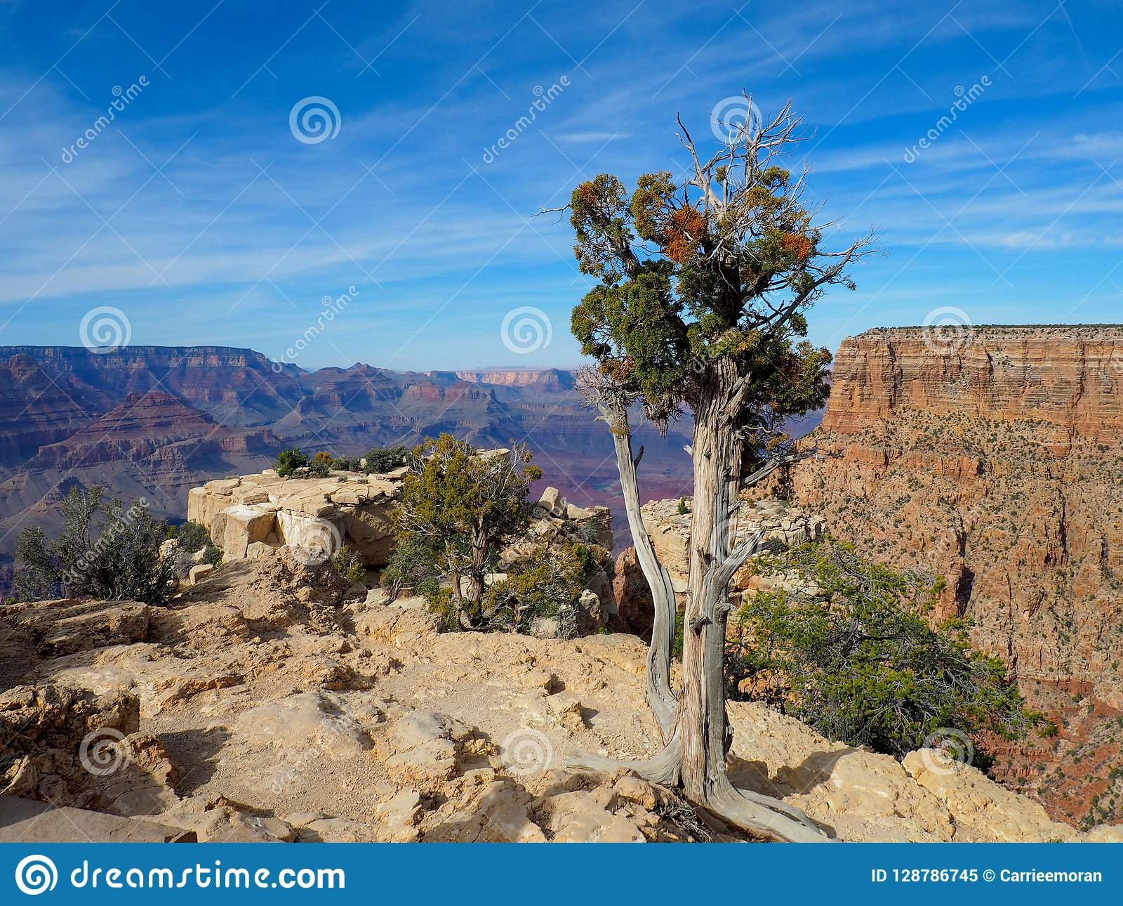 Juniper Tree on the Rim of the Grand Canyon