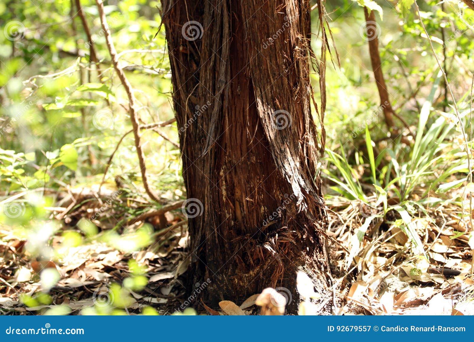 Juniper Tree Trunk