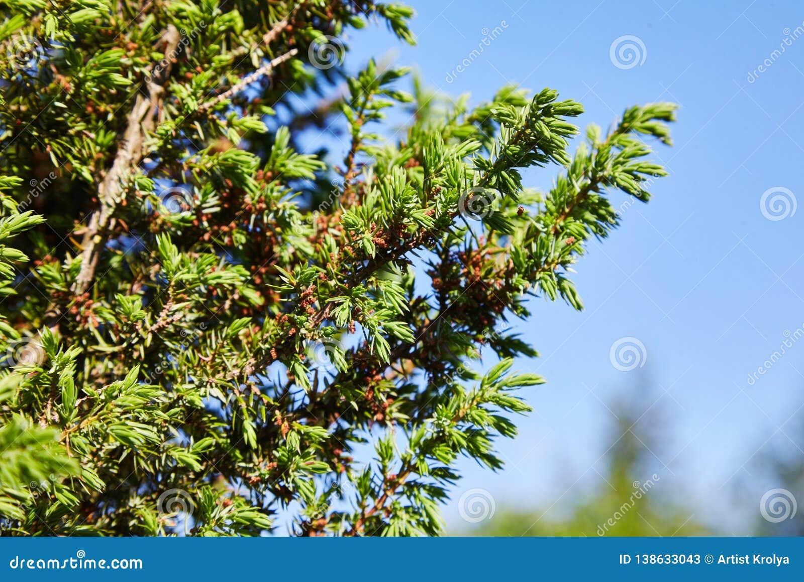Juniperus communis die gelben männlichen Kegel