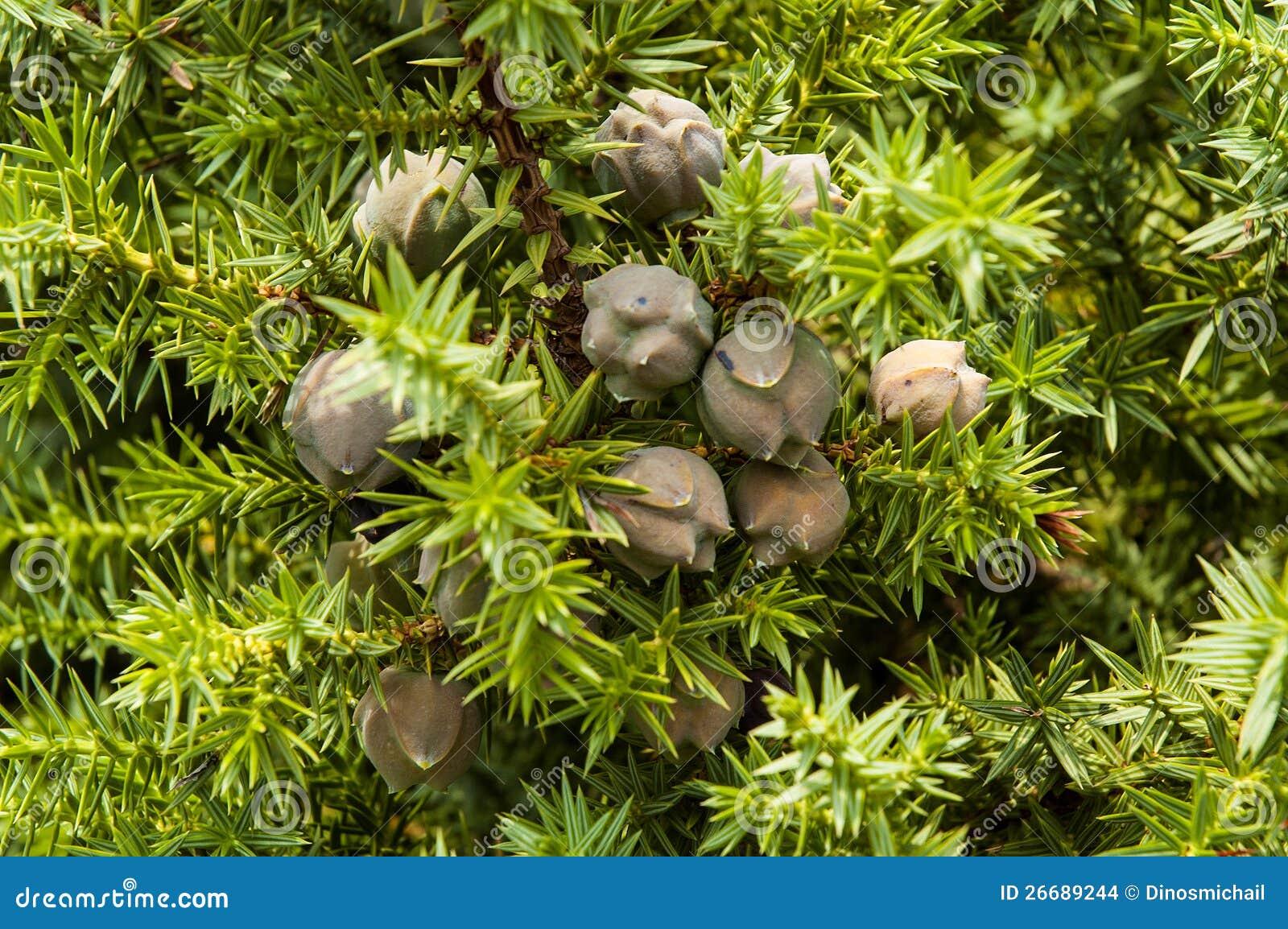 Juniperus drupacea syrian juniper stock images image for The juniper