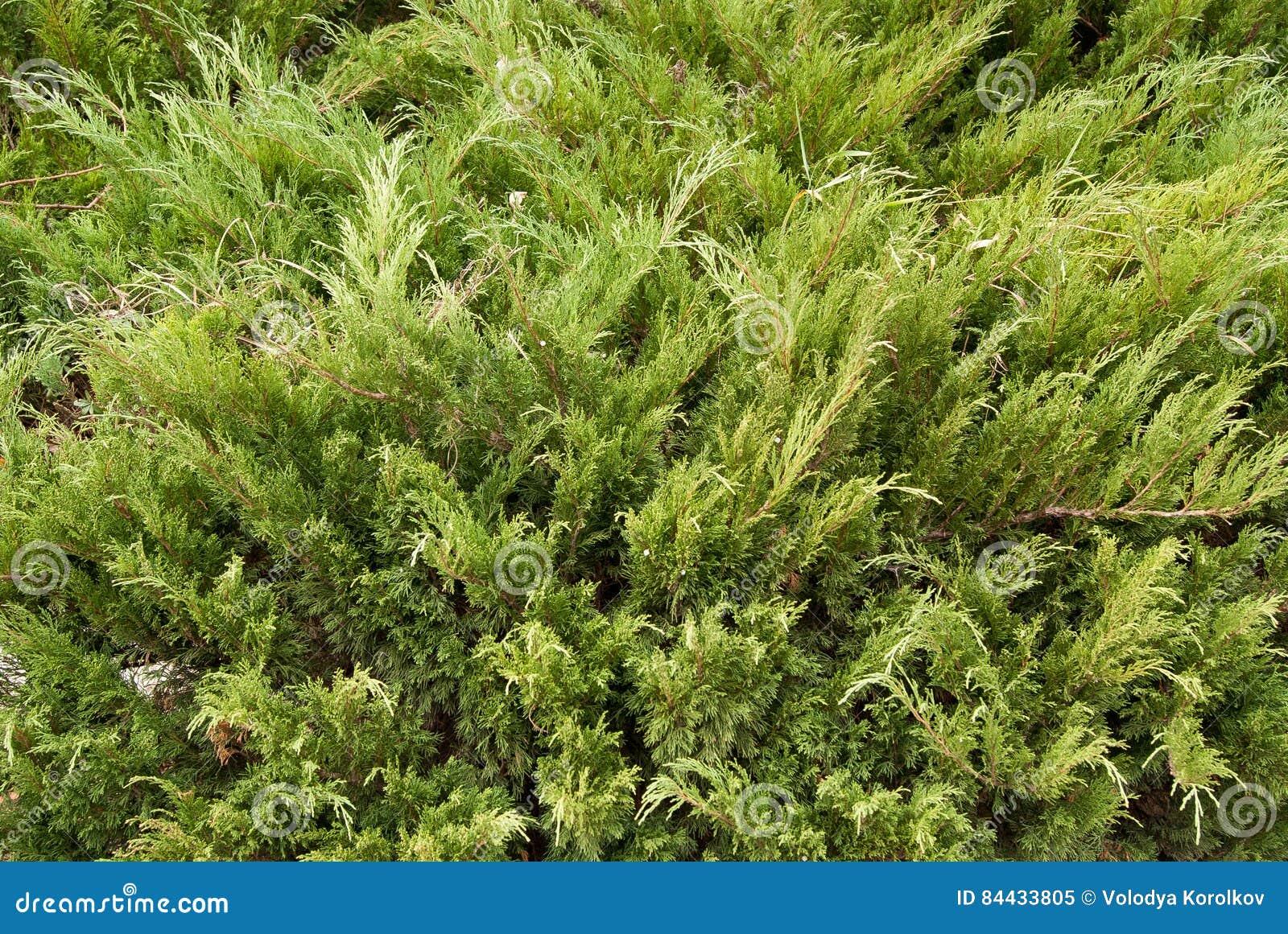 juniperus comp