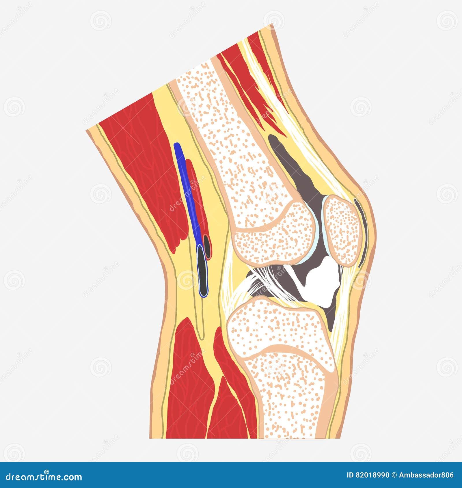 Junta de rodilla humana ilustración del vector. Ilustración de hueso ...