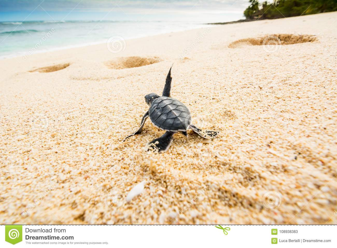 Little turtle goes towards the sea