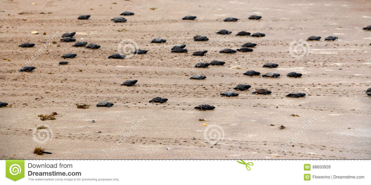 Just hatched Green turtles are going toward the ocean