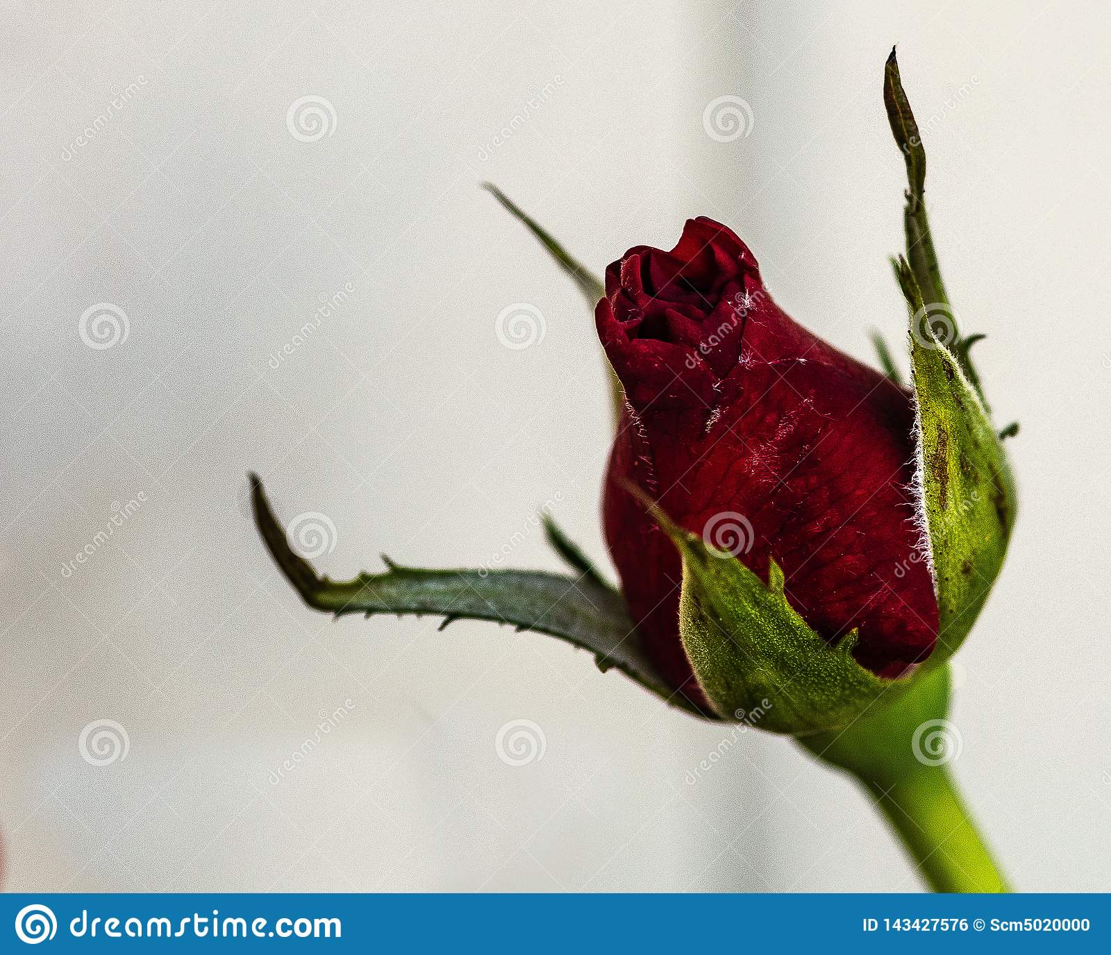 Just opening of Red rose bud