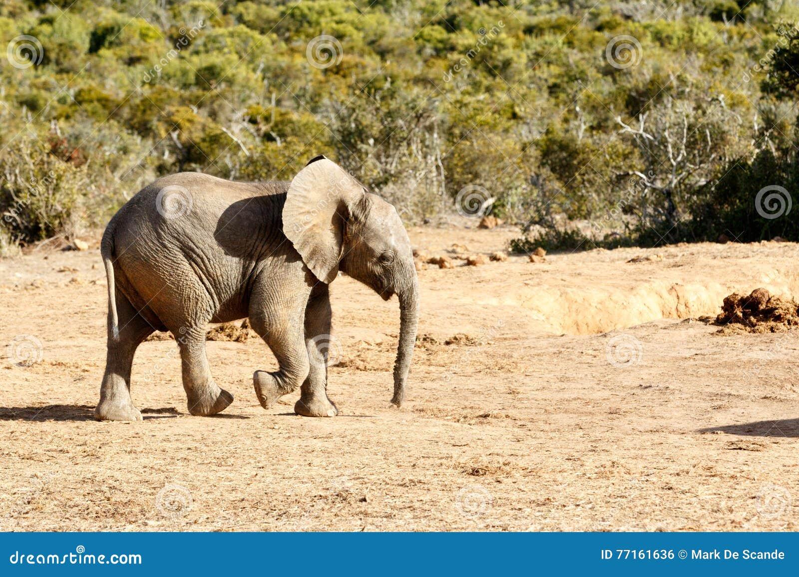 Juste désordre autour - de l éléphant africain de Bush