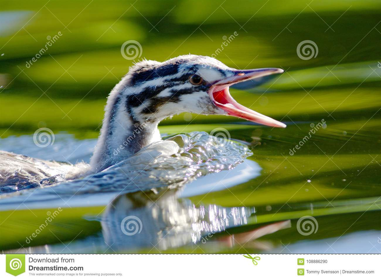 Great crested grebe screaming on a lake in Sweden