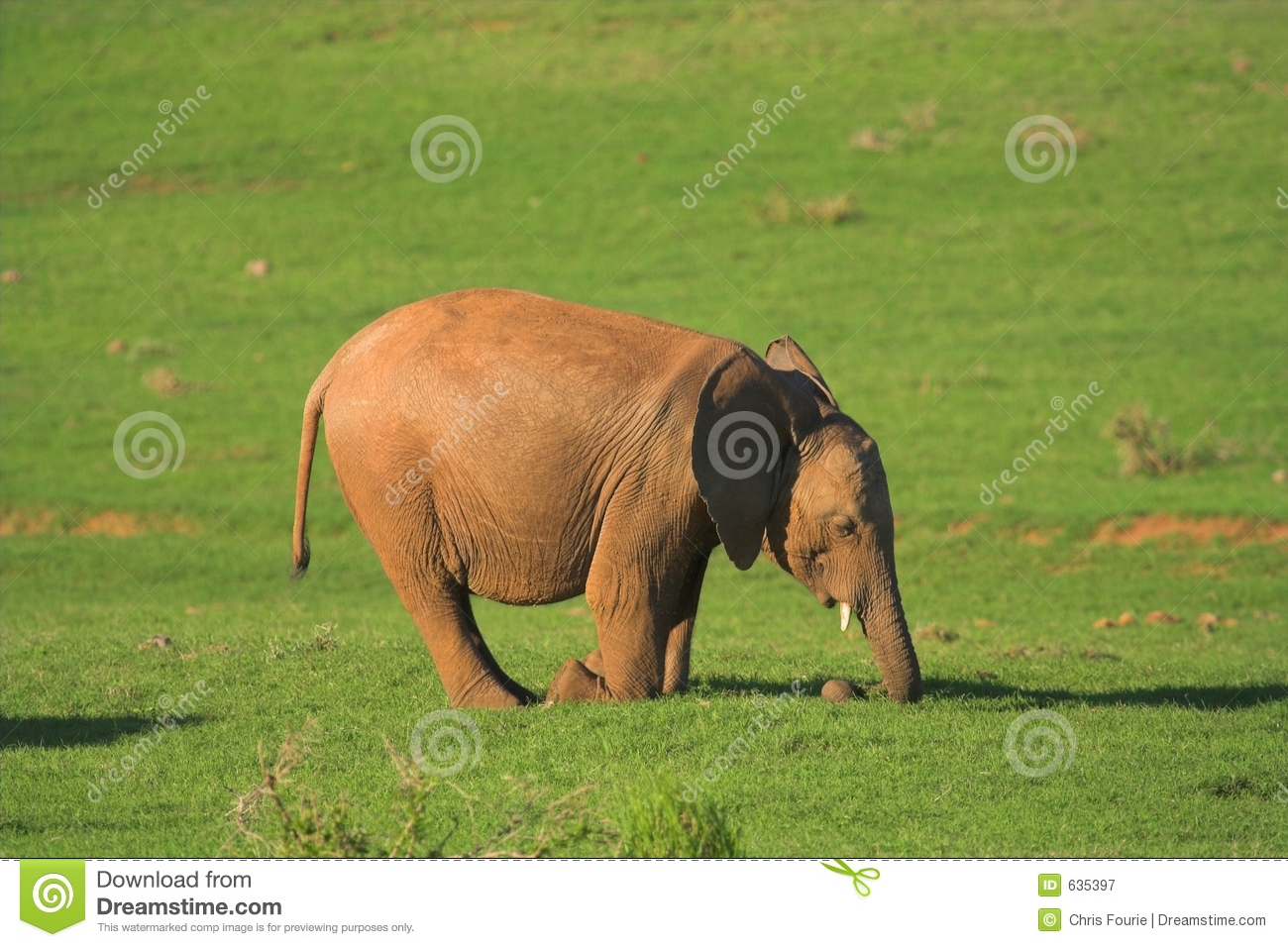 Juvenile African Elephant Stops For A Drink Stock Photo | Getty Images